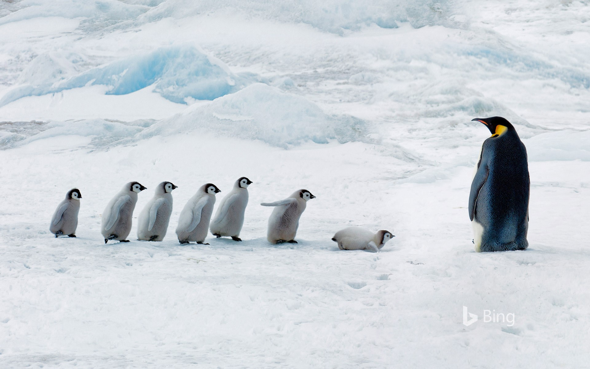 Emperor penguin adult and chicks, Snow Hill Island, Antarctica