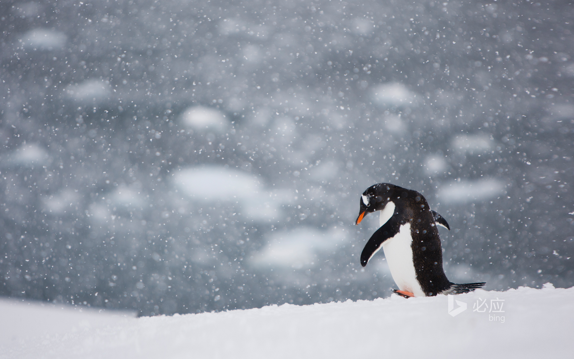 Penguin walking alone in the snow