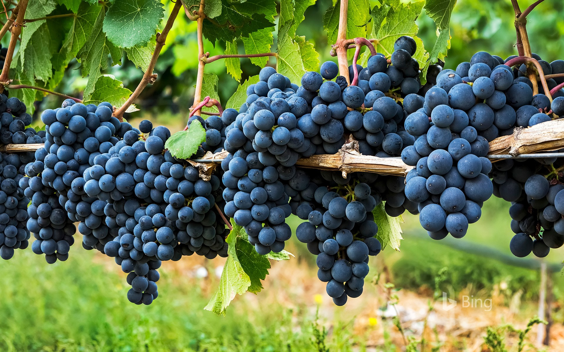Clusters of dark purple grapes hanging on a vine in Penticton, B.C.