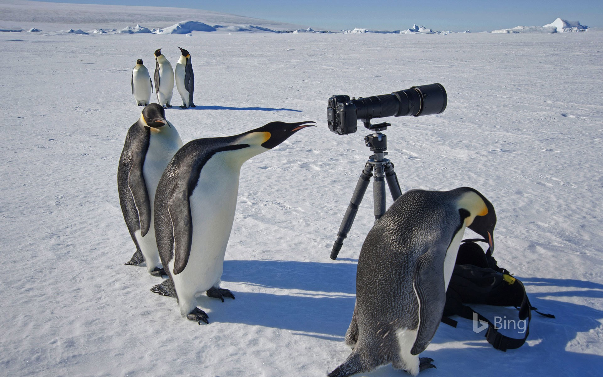 A group of curious emperor penguins in Antarctica