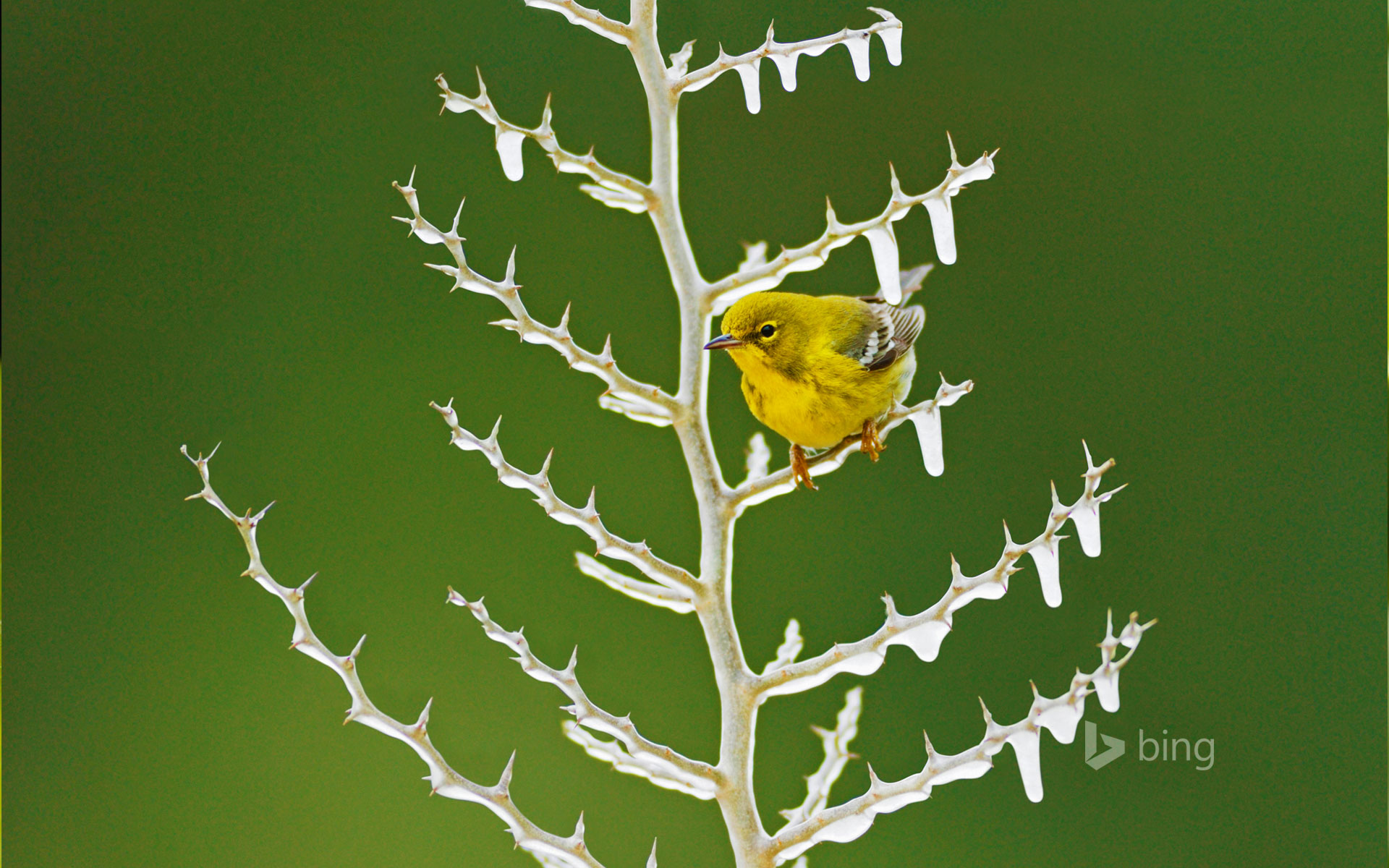 A male pine warbler perched on an icy branch