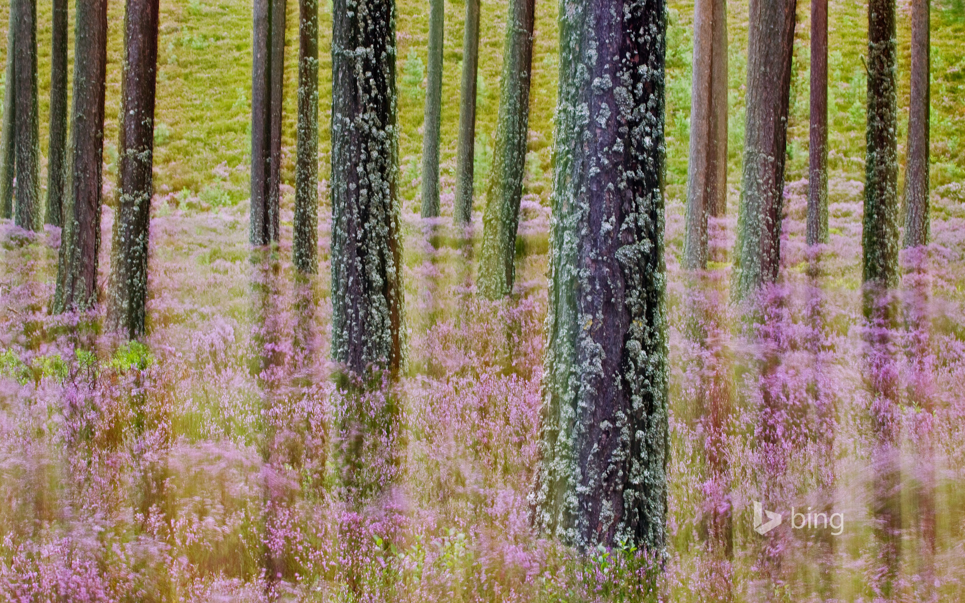 Heather growing in Cairngorms National Park, Scotland