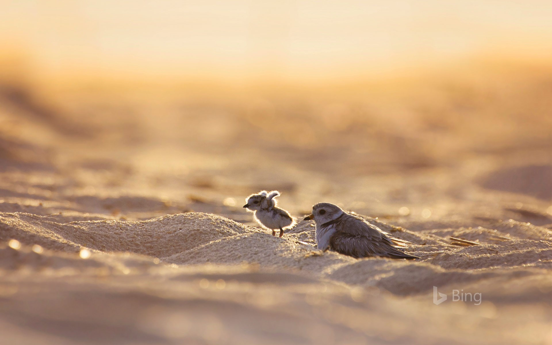 Piping plover and its chick on Jones Beach Island, New York (© Vicki Jauron/Getty Images)
