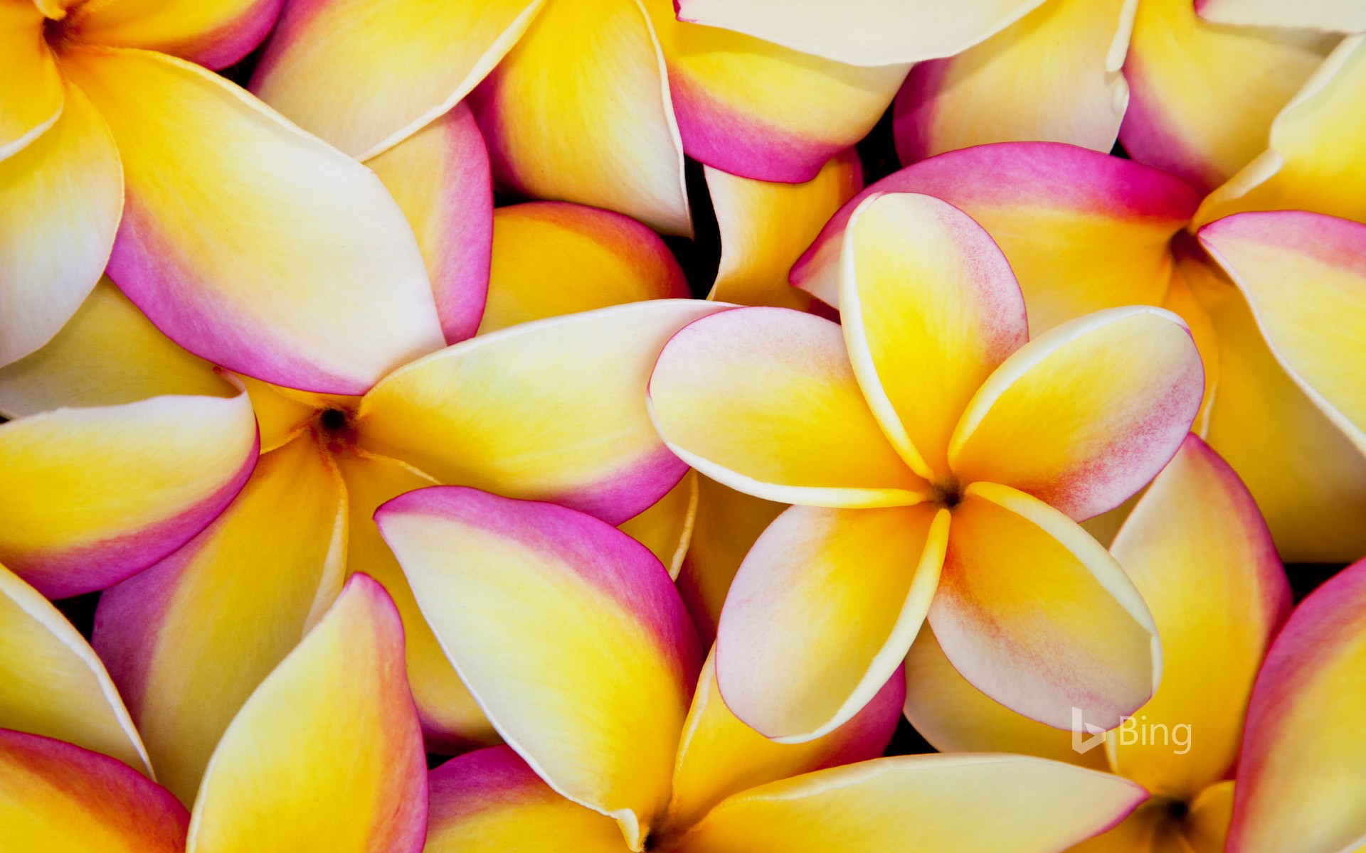 Plumeria flowers in hawaii darrell gulingetty images bing plumeria flowers in hawaii darrell gulingetty images izmirmasajfo Choice Image