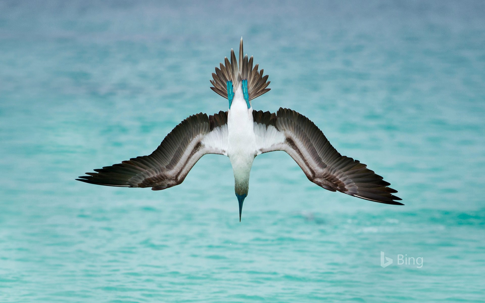 A blue-footed booby dives off San Cristóbal Island, Ecuador