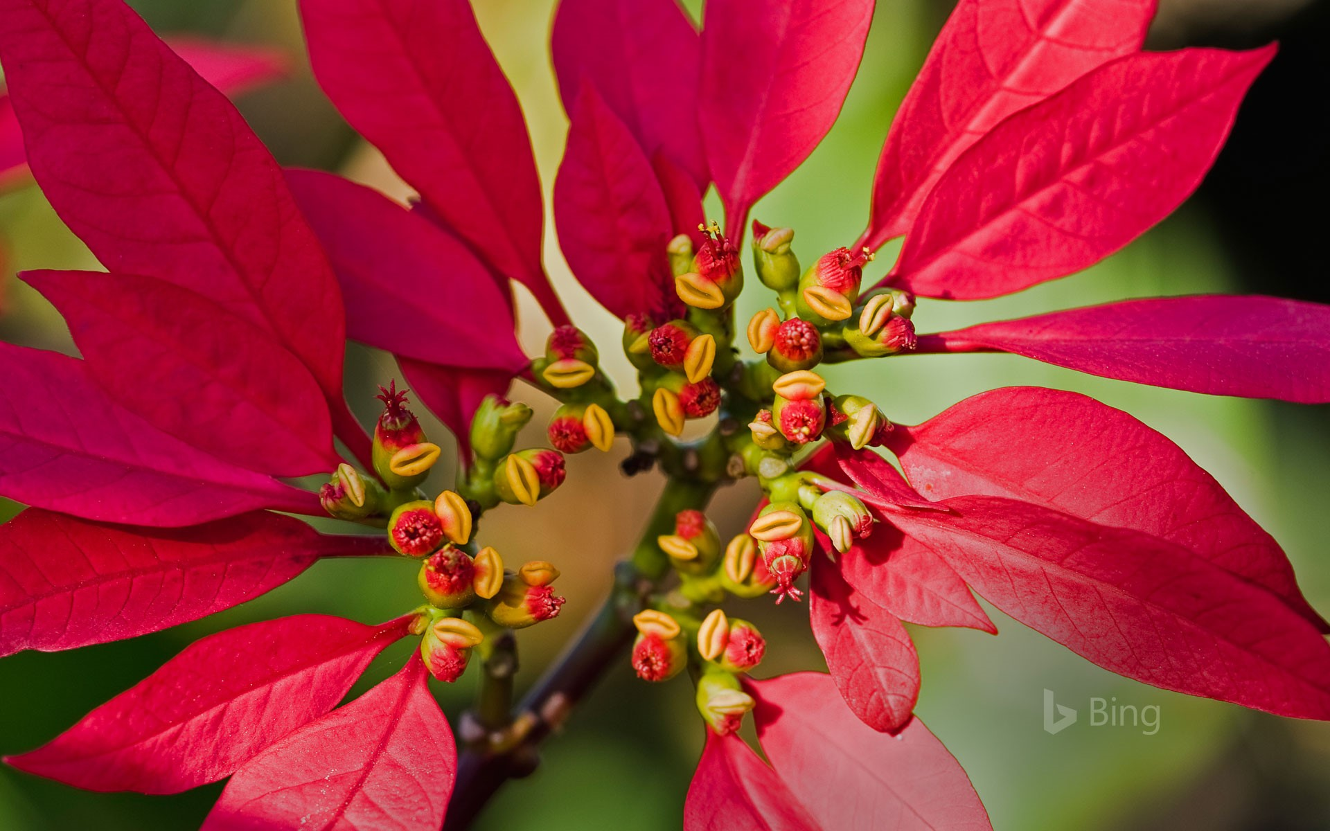 Poinsettia flower buds