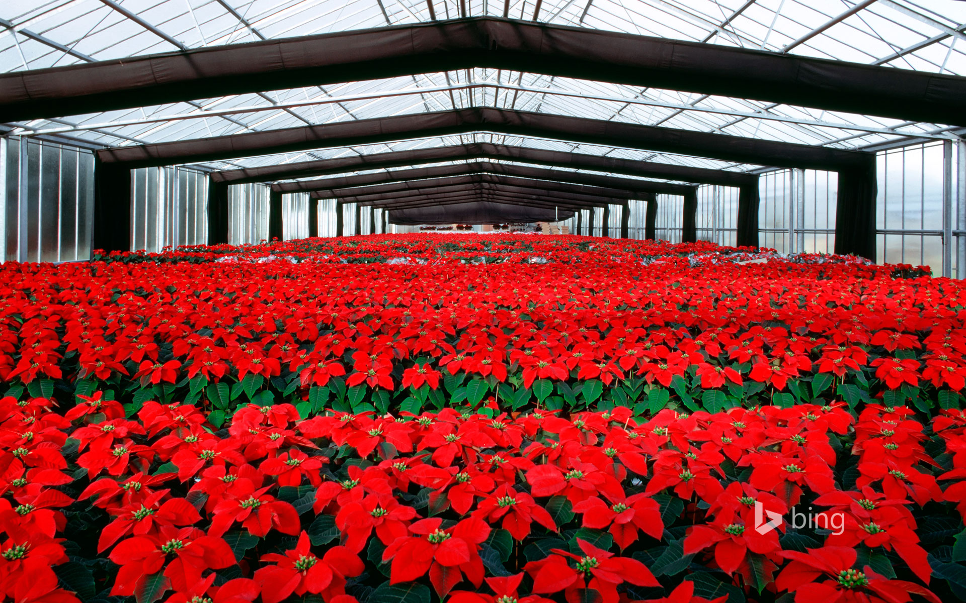 Poinsettia plants under cultivation in a greenhouse
