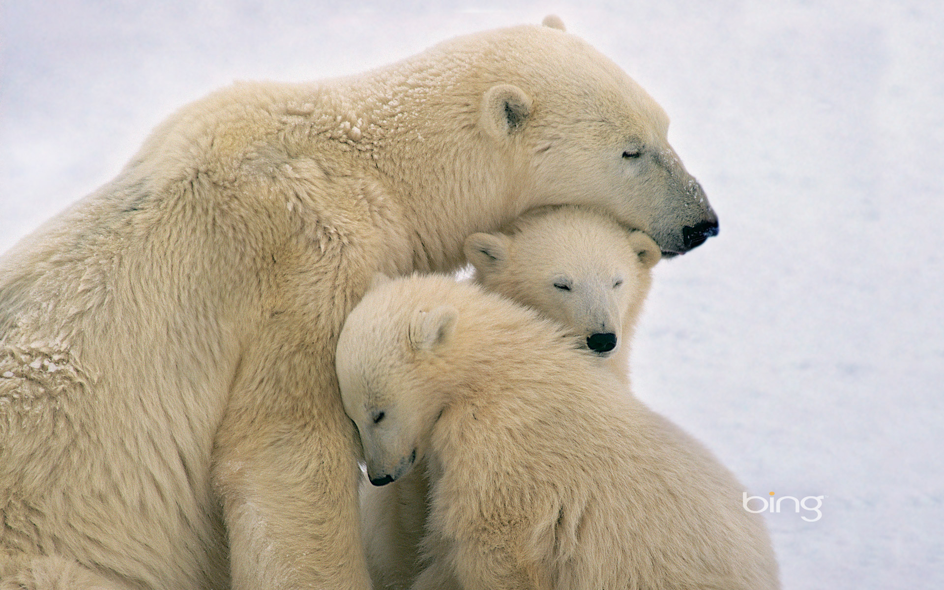 Polar bear mother and cubs near Hudson Bay, Canada ...