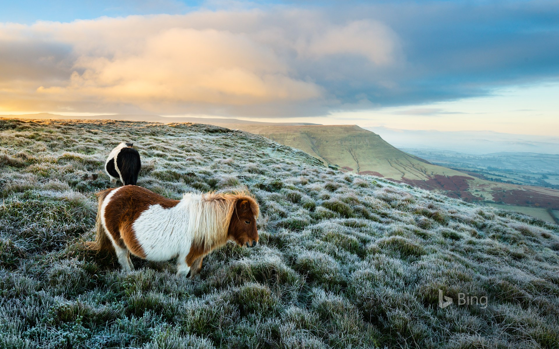 Wild ponies at Hay Bluff, Black Mountains, Brecon Beacons National Park, Wales