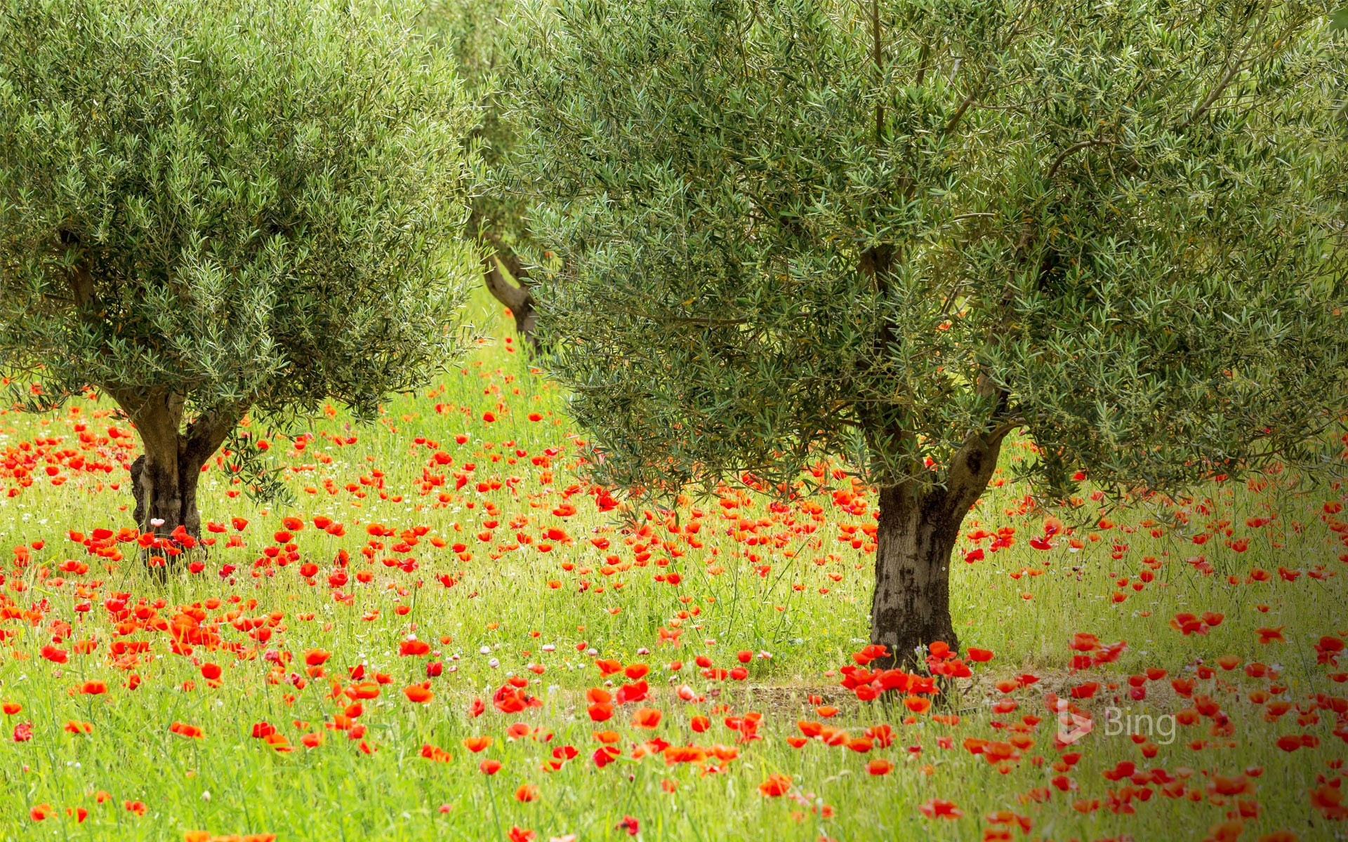 Olive trees and poppies in Luberon Regional Nature Park, France