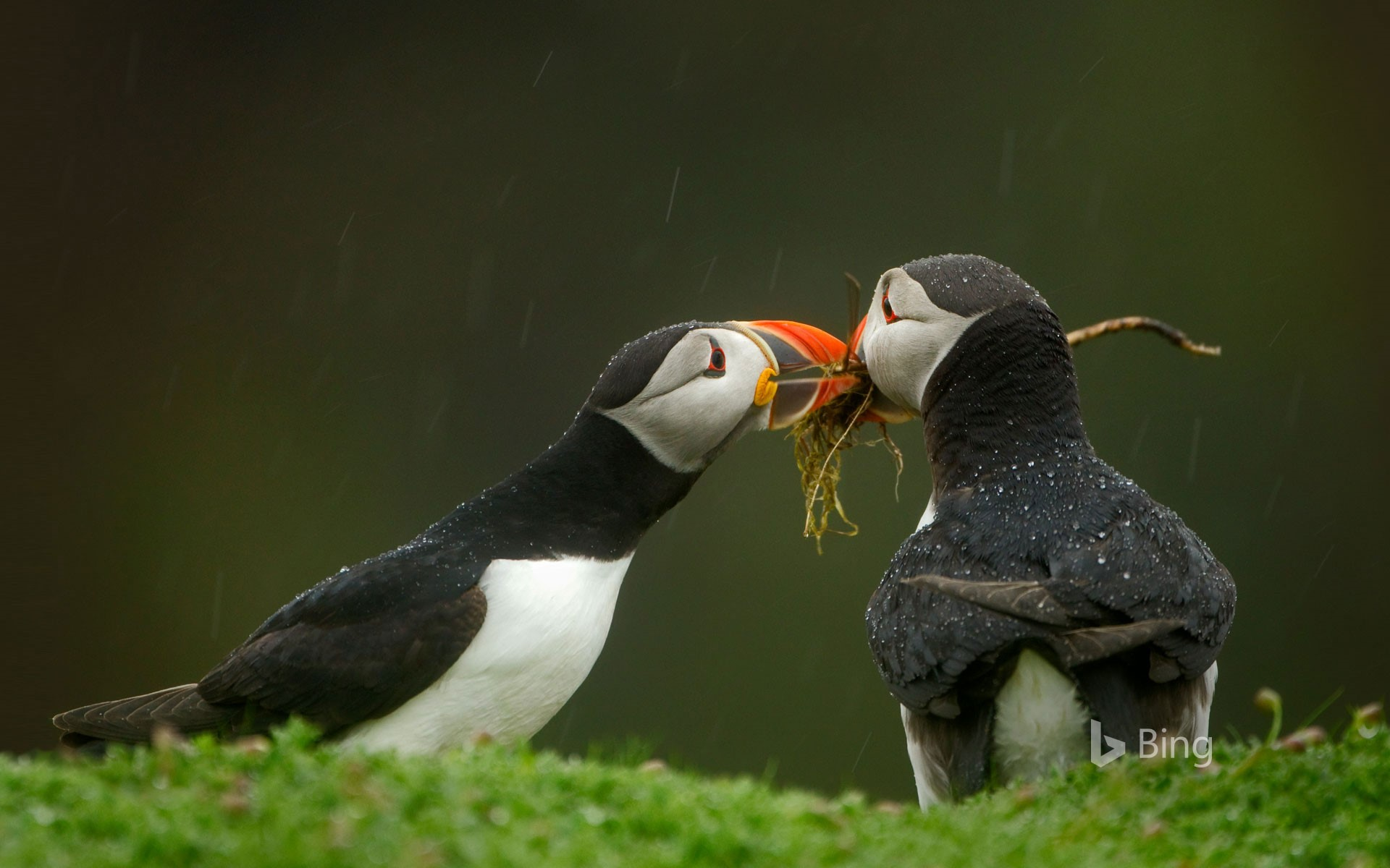Male Atlantic puffin gives his mate nesting material, Skomer Island, Wales
