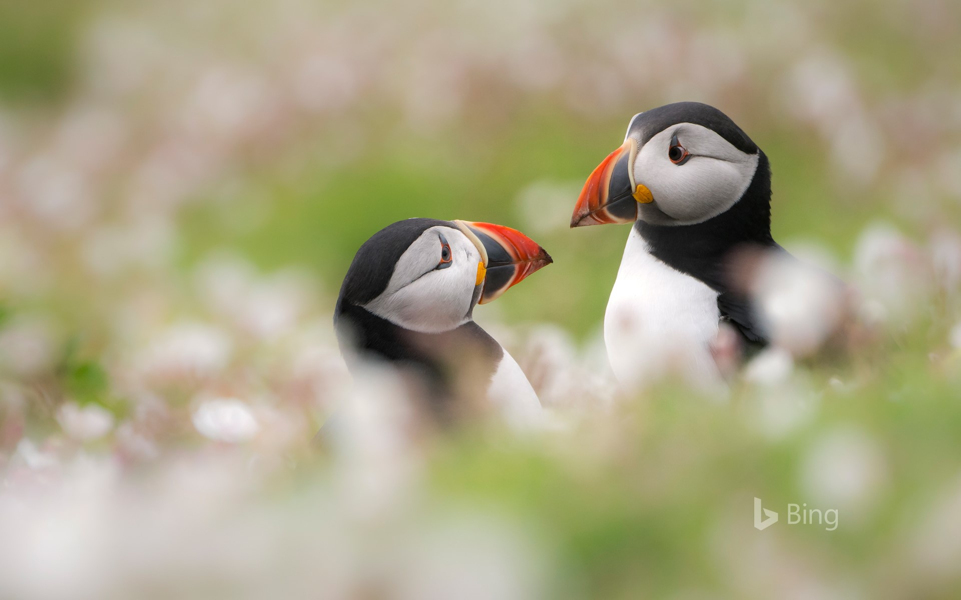 Puffins among sea campion on Skomer Island, Pembrokeshire, Wales