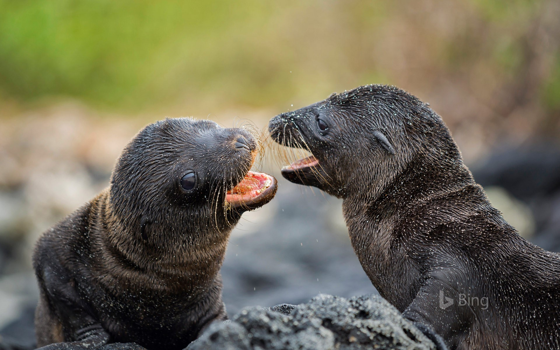 Galápagos sea lion pups on Santiago Island, Ecuador