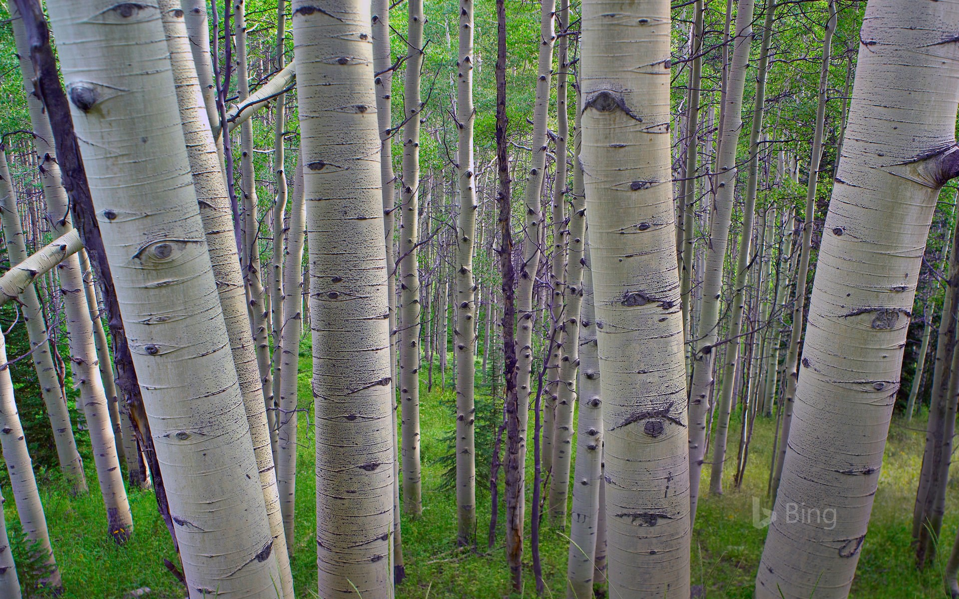 Quaking aspens in Gunnison National Forest, Colorado, USA