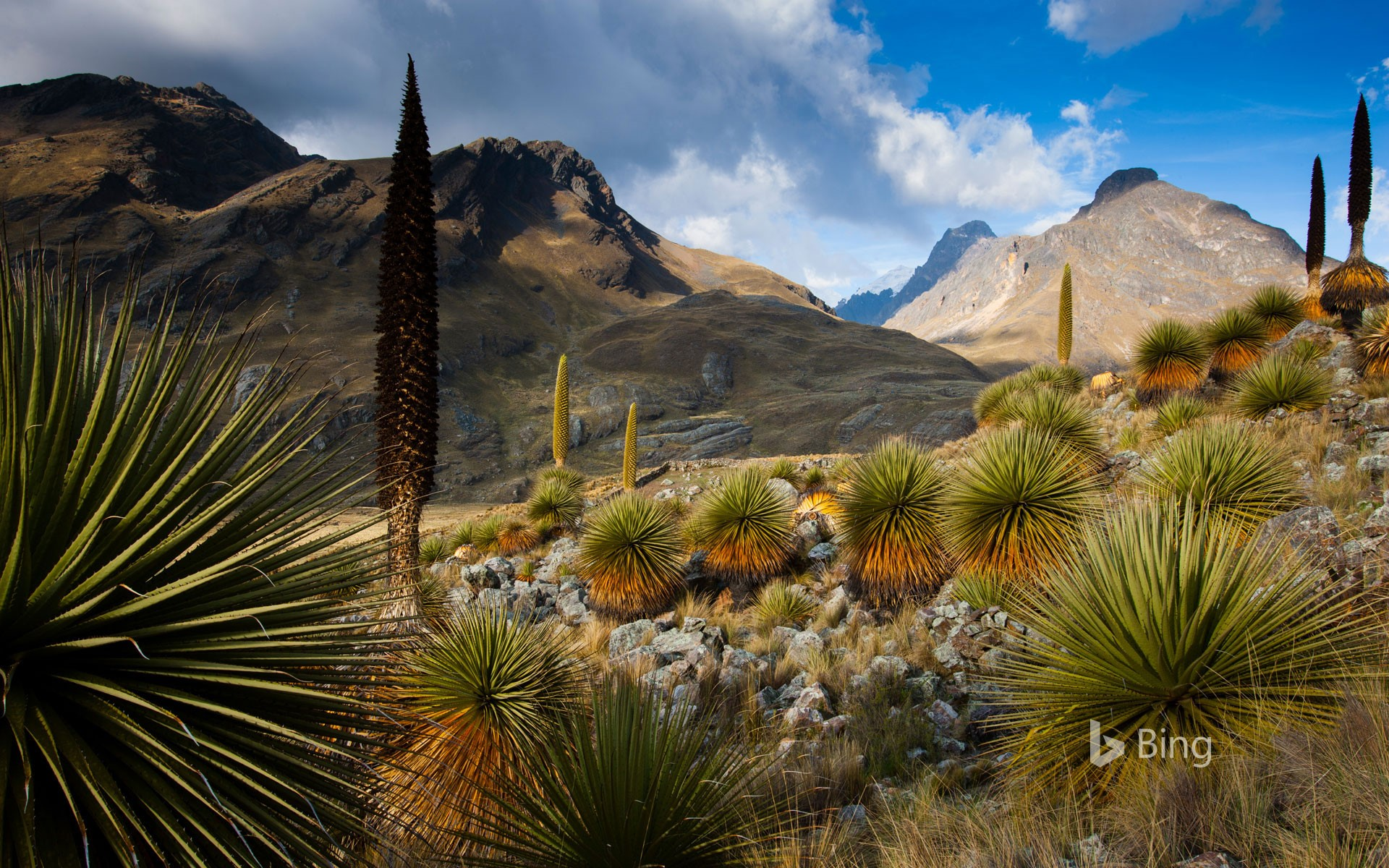 Queen of the Andes plants with the Cordillera Blanca massif in the background, Peru