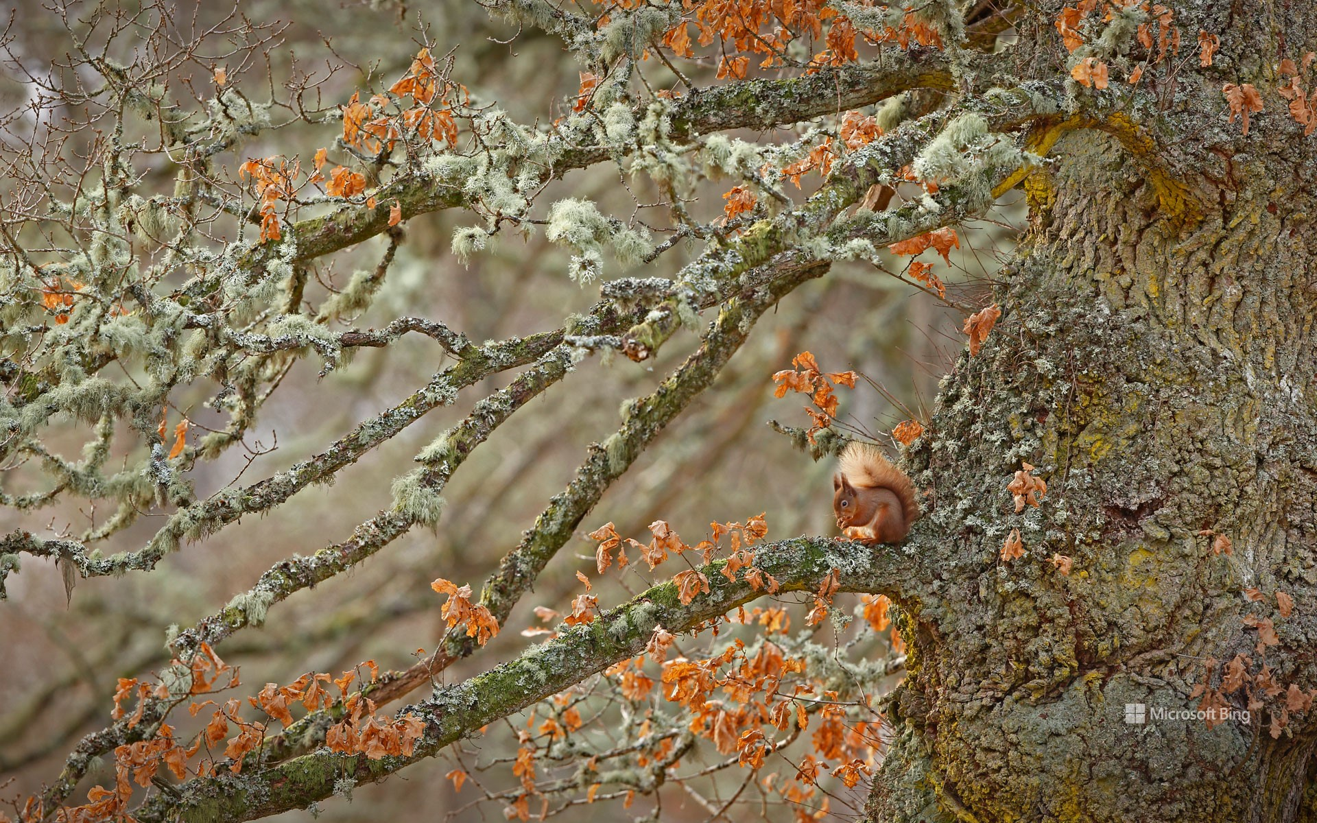 Red squirrel in the Highlands of Scotland