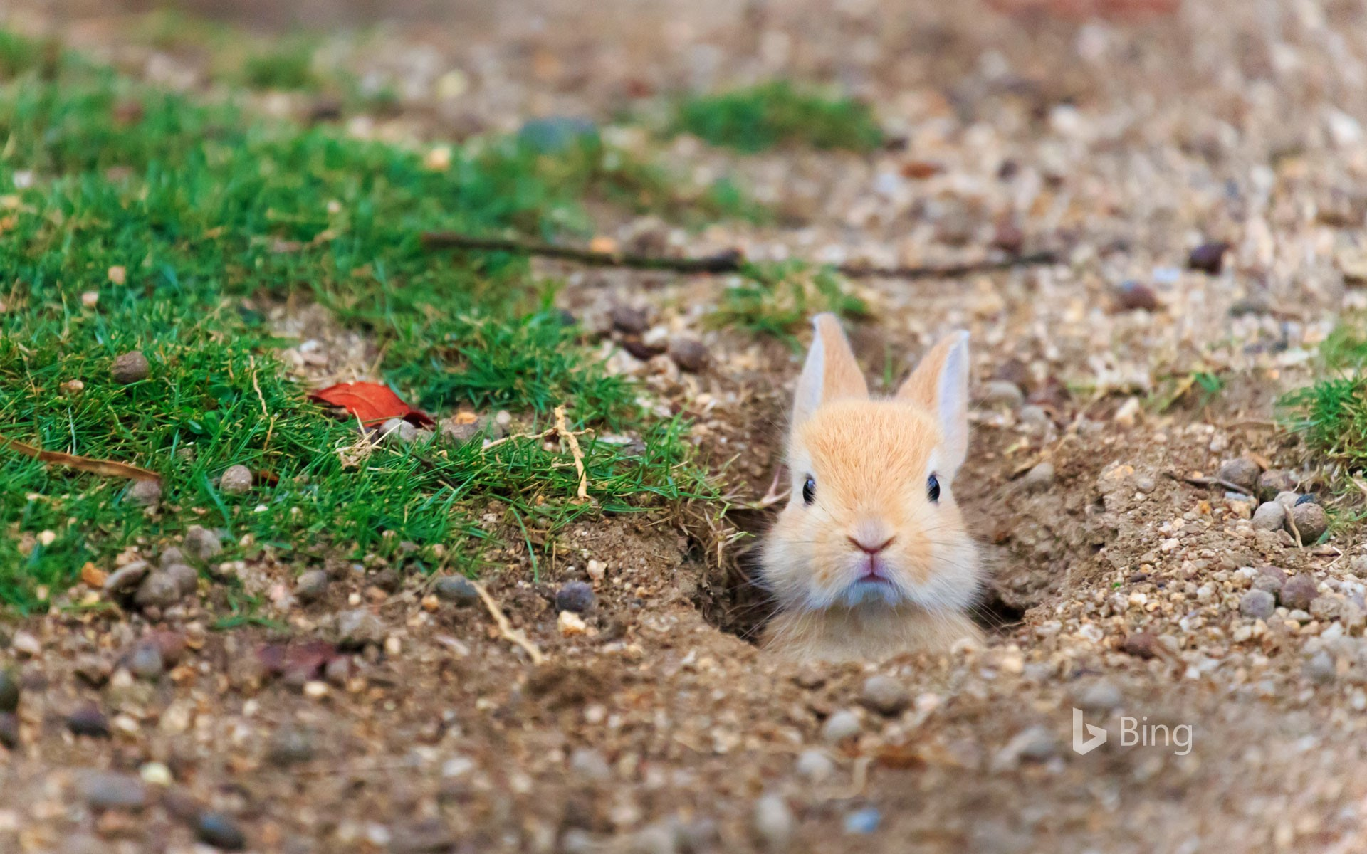 Baby feral domestic rabbit, Ōkunoshima Island (aka Rabbit Island), Hiroshima, Japan