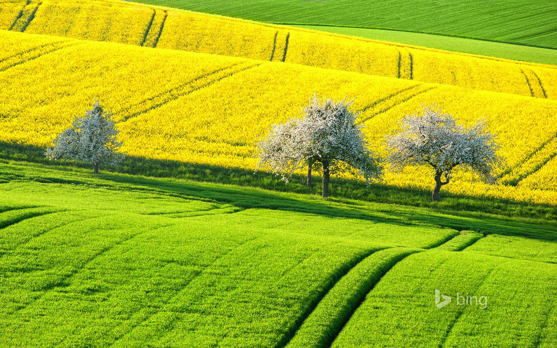 Canola fields in spring, Germany