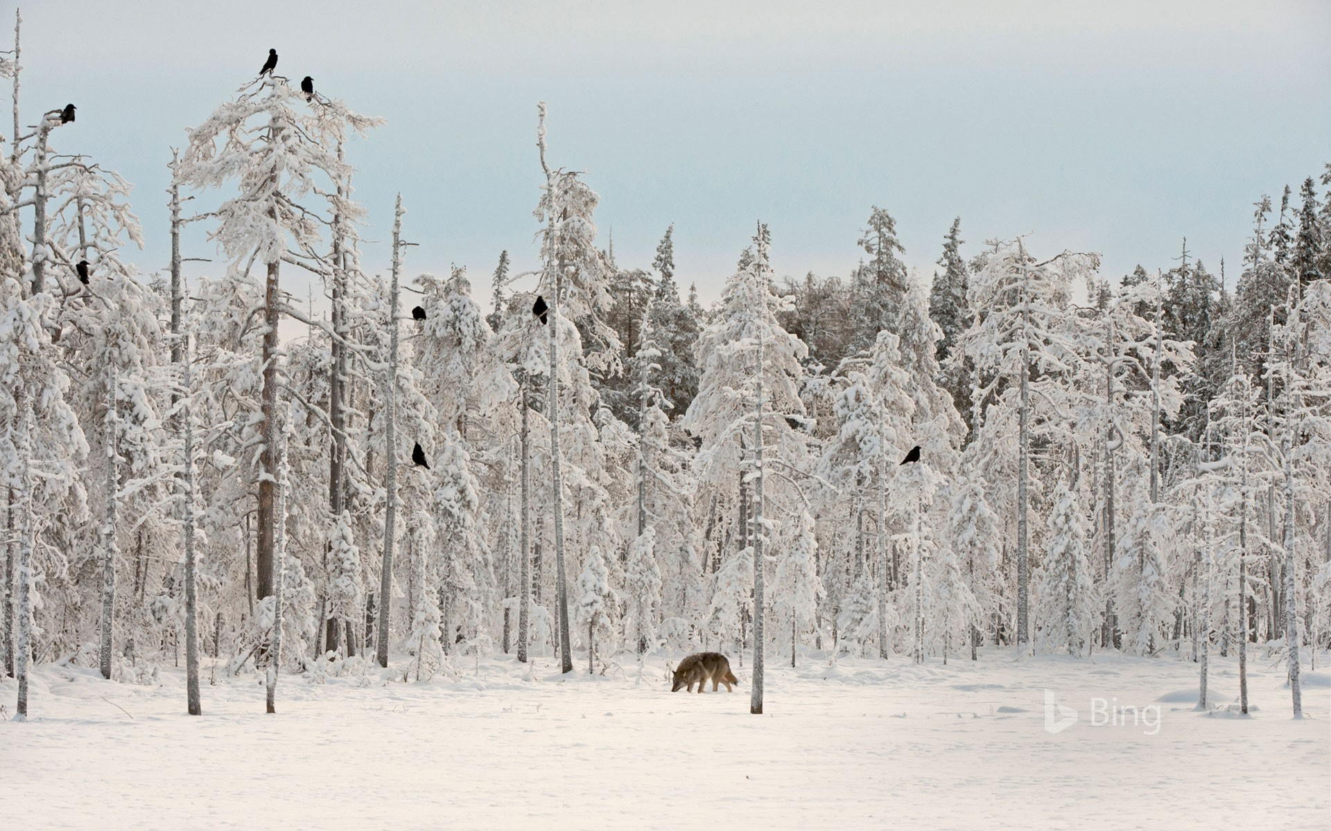 Grey wolf with flock of ravens in Finland