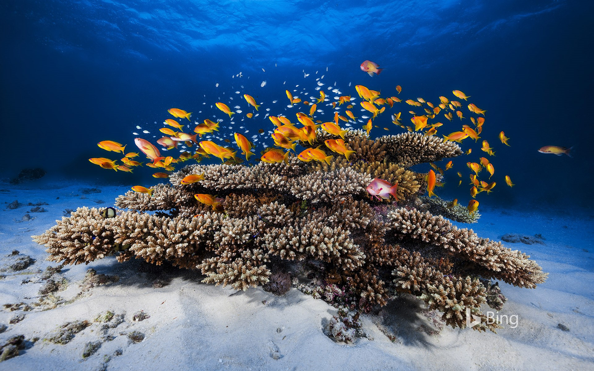 School of Pseudanthias squamipinnis swimming over coral, Mayotte, Indian Ocean
