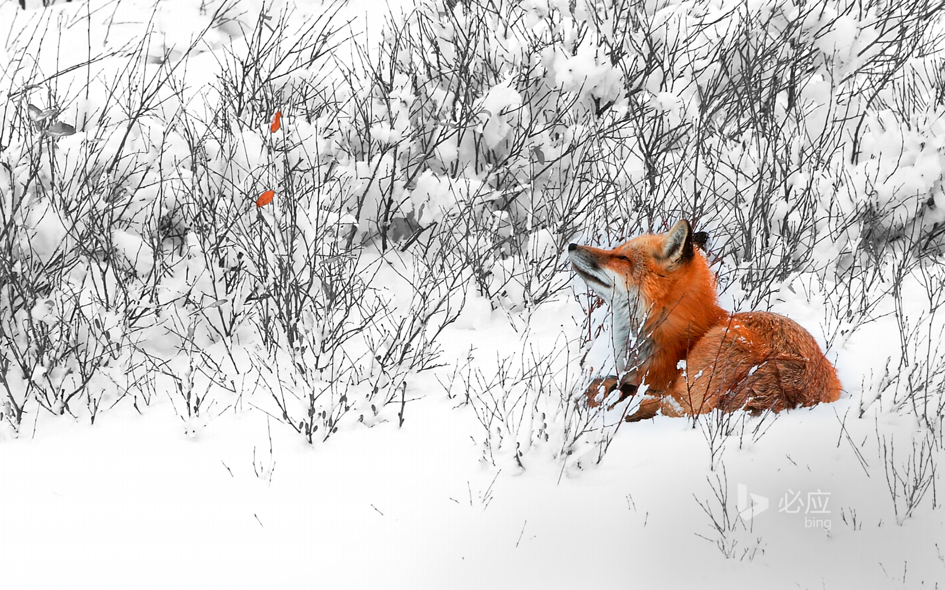 A red fox is quietly staring at the dead leaves of a willow tree near Churchill town in Manitoba, Canada