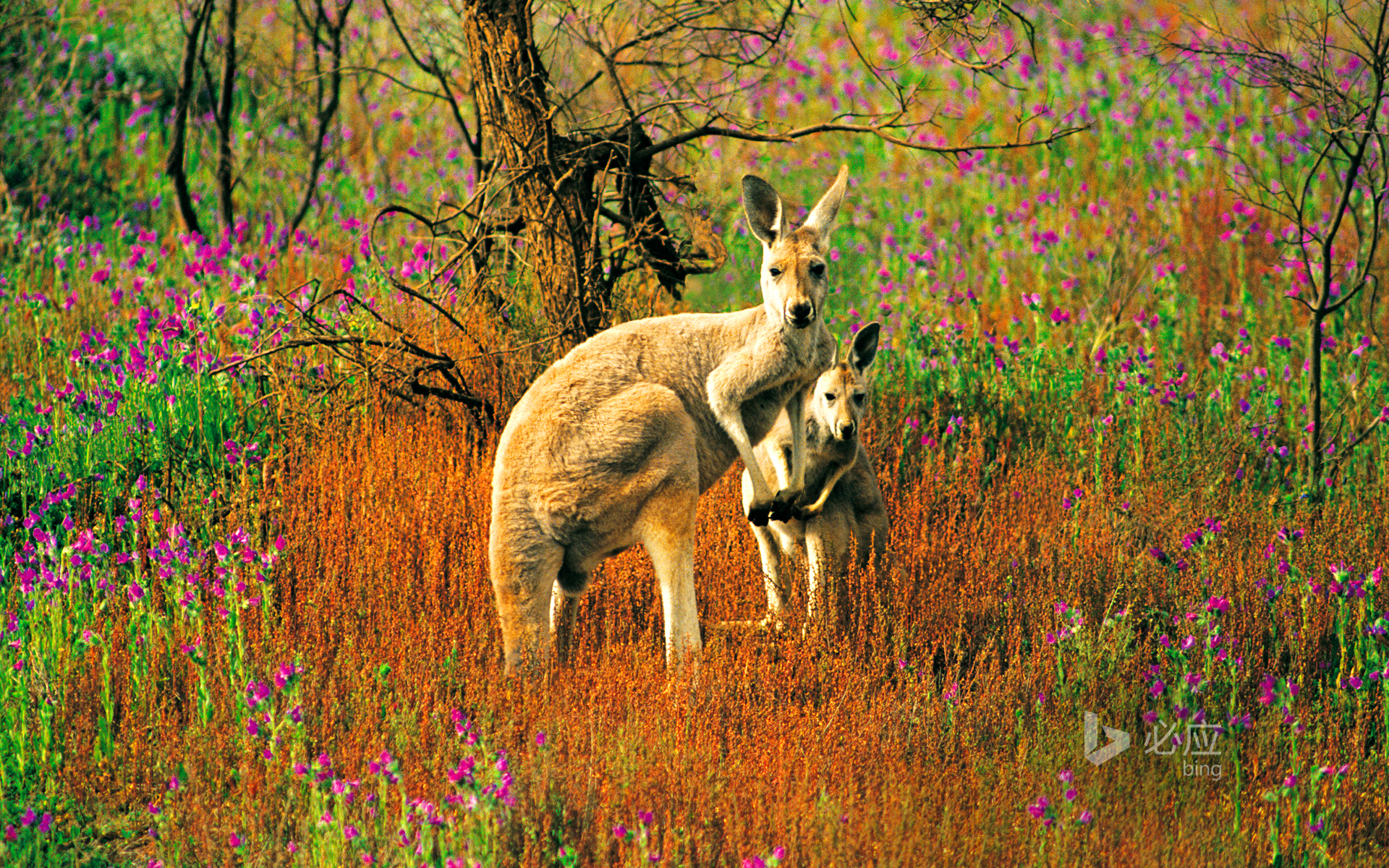 Flinders National Park, South Australia, Great Red Kangaroo with its children