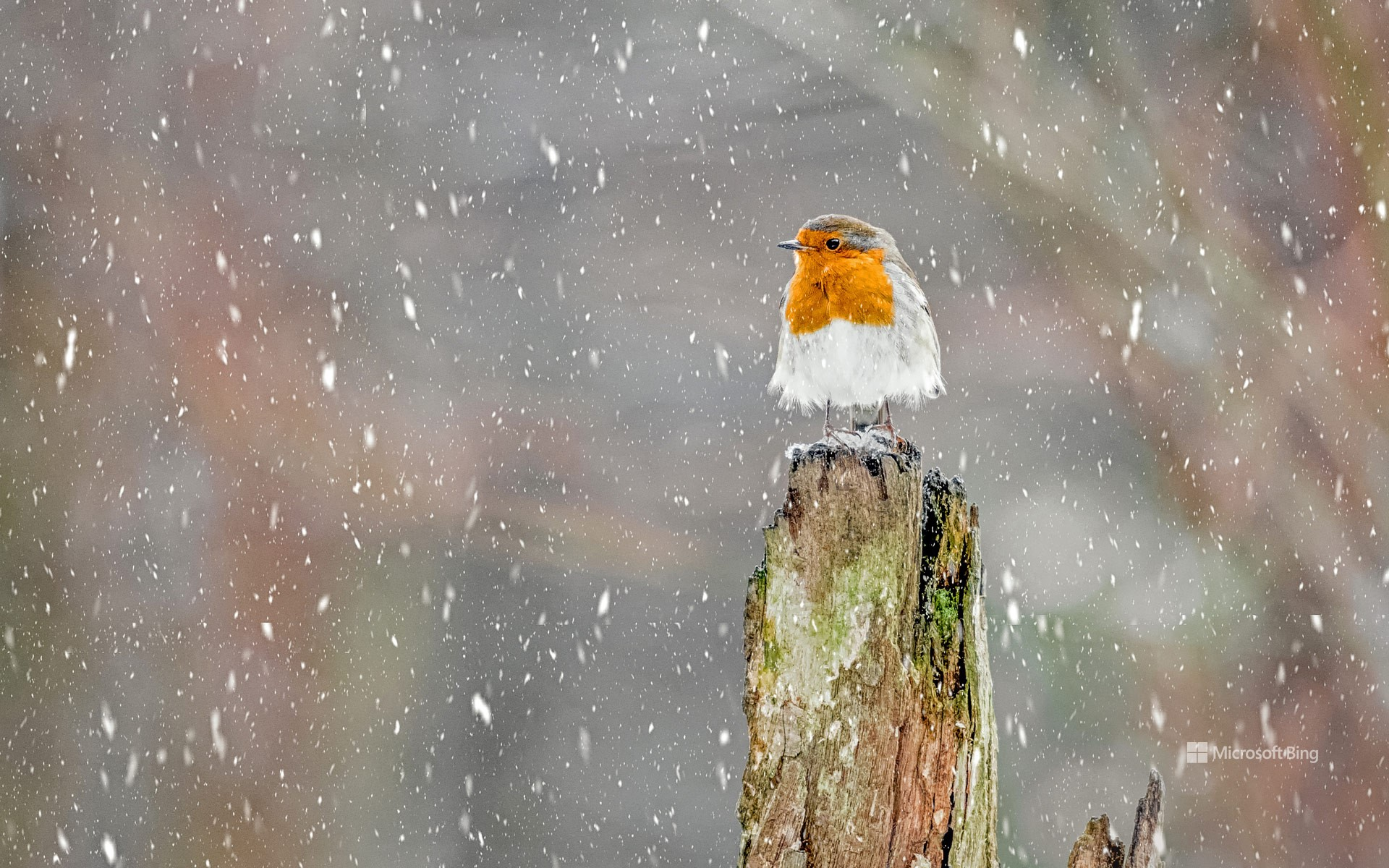 European robin during a winter snowstorm, Peak District National Park, England