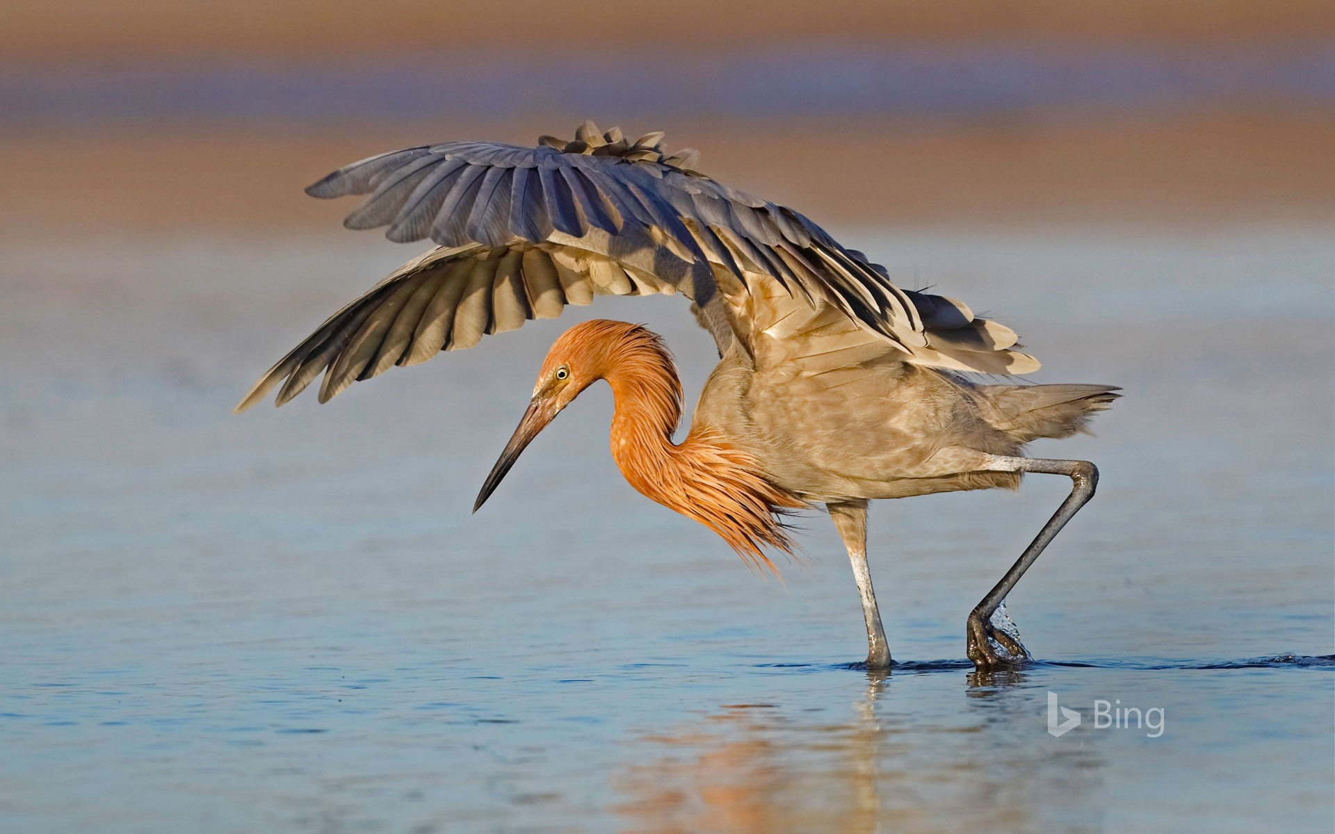 A reddish egret hunts in Fort De Soto Park, Florida