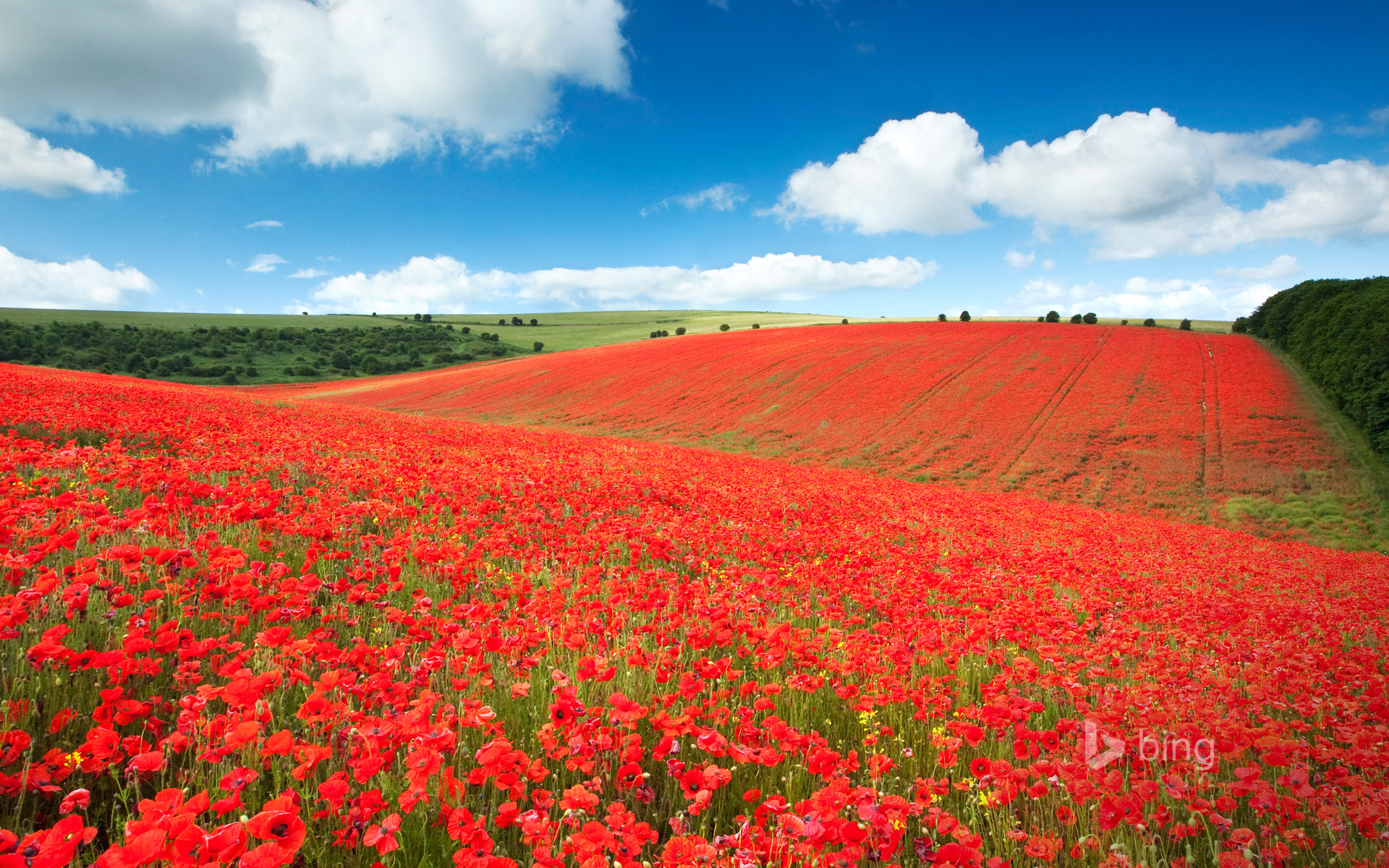 A field of poppies in the South Downs National Park near Brighton