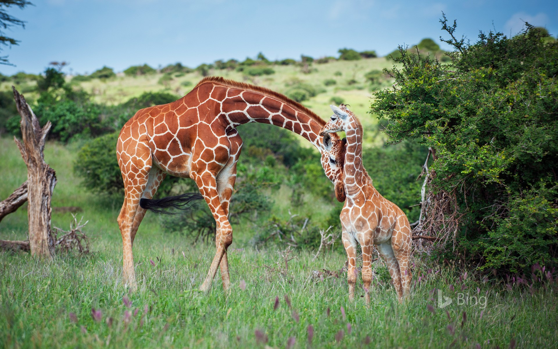 Reticulated giraffe nuzzles her calf in Lewa Wildlife Conservancy, Kenya