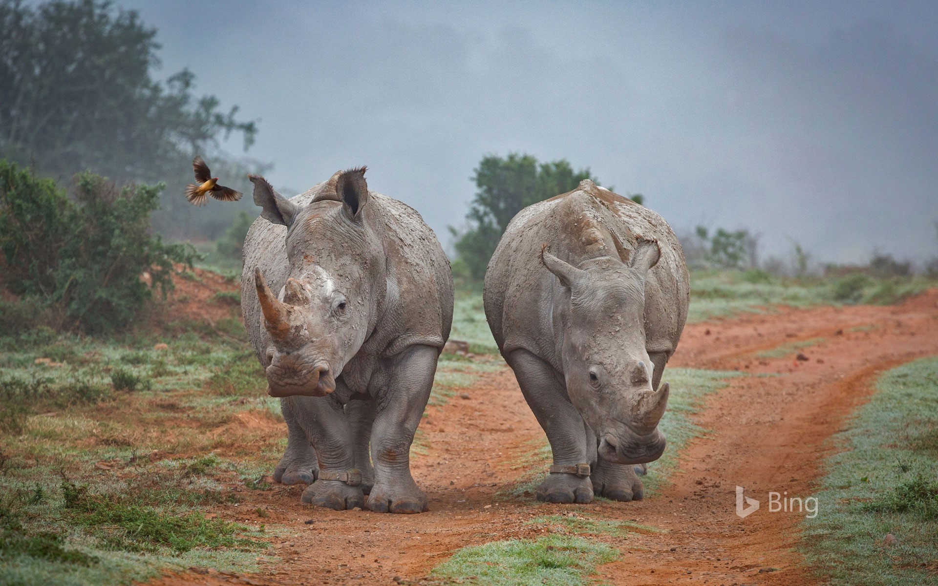 Rhinos and an oxpecker bird in the Amakhala Game Reserve, South Africa