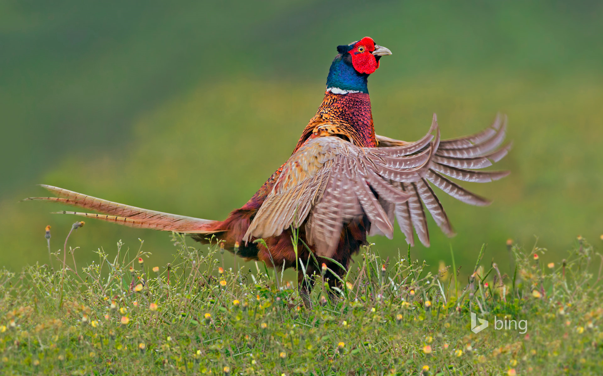 Ring-necked pheasant male, Texel, Netherlands