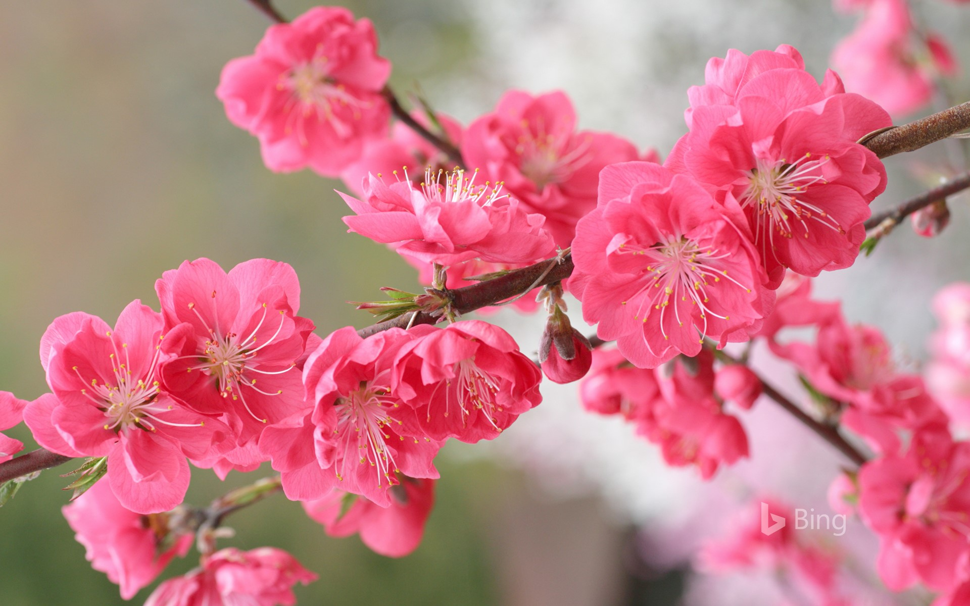 """Peach blossoms"""