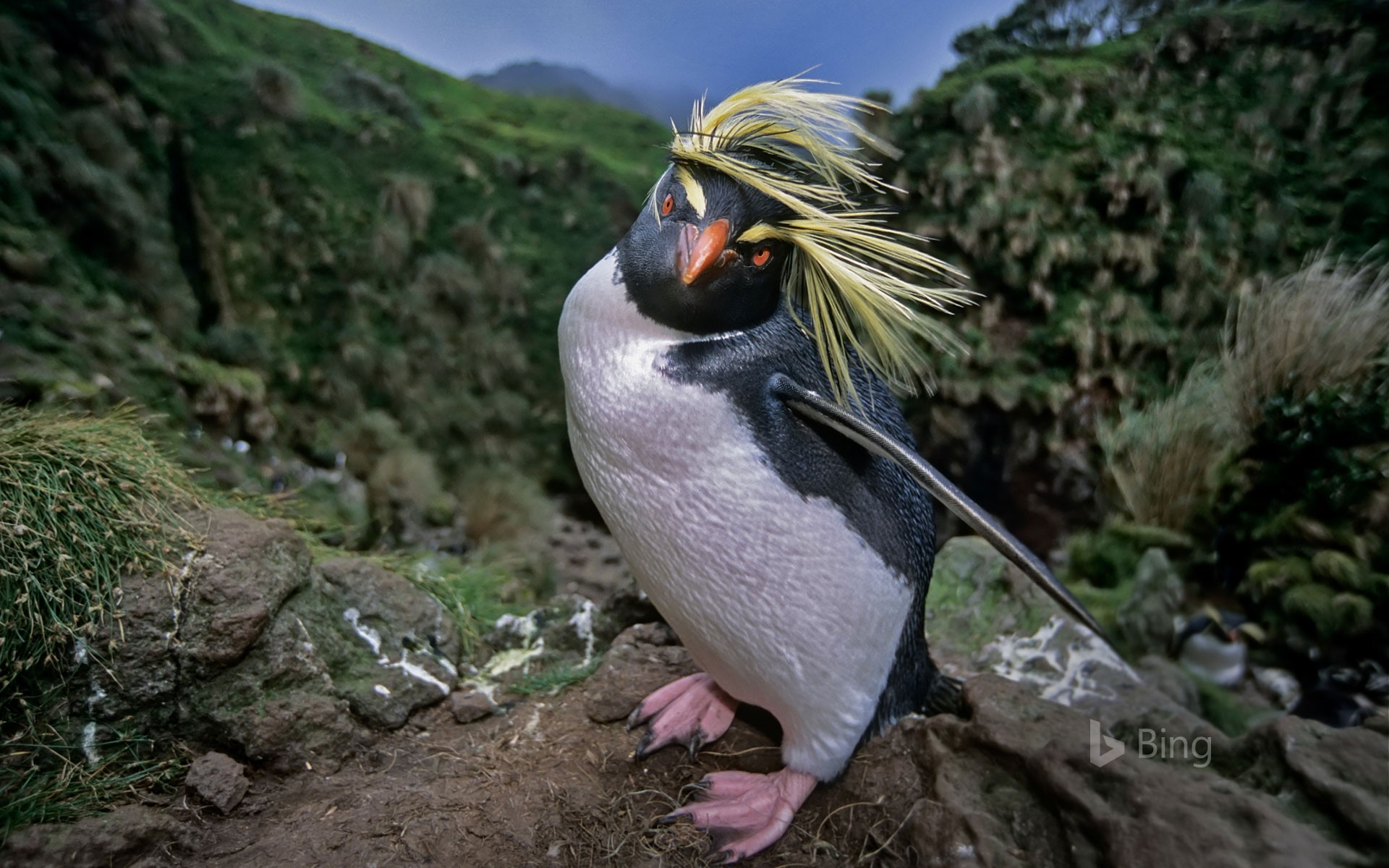 Northern rockhopper penguin on Gough Island in the South Atlantic