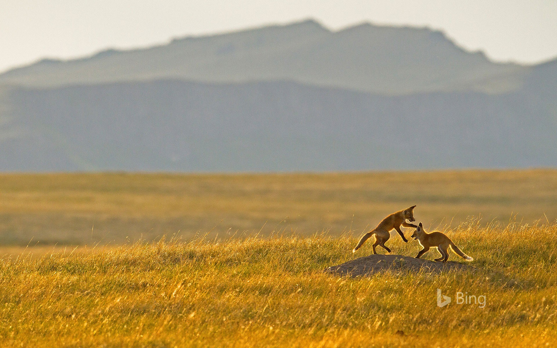 Fox kits playing in the Rocky Mountain foothills near Cascade, Montana