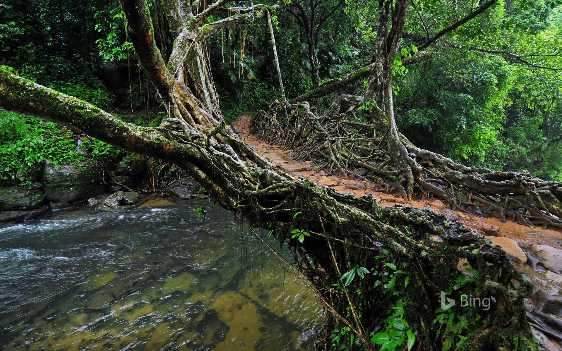 Living root bridge in India