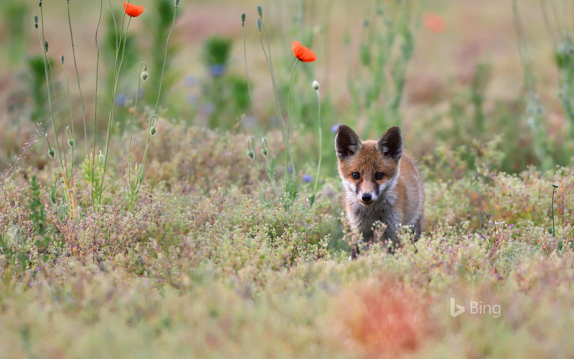 Young red fox with poppies, Lausitz, Saxony, Germany