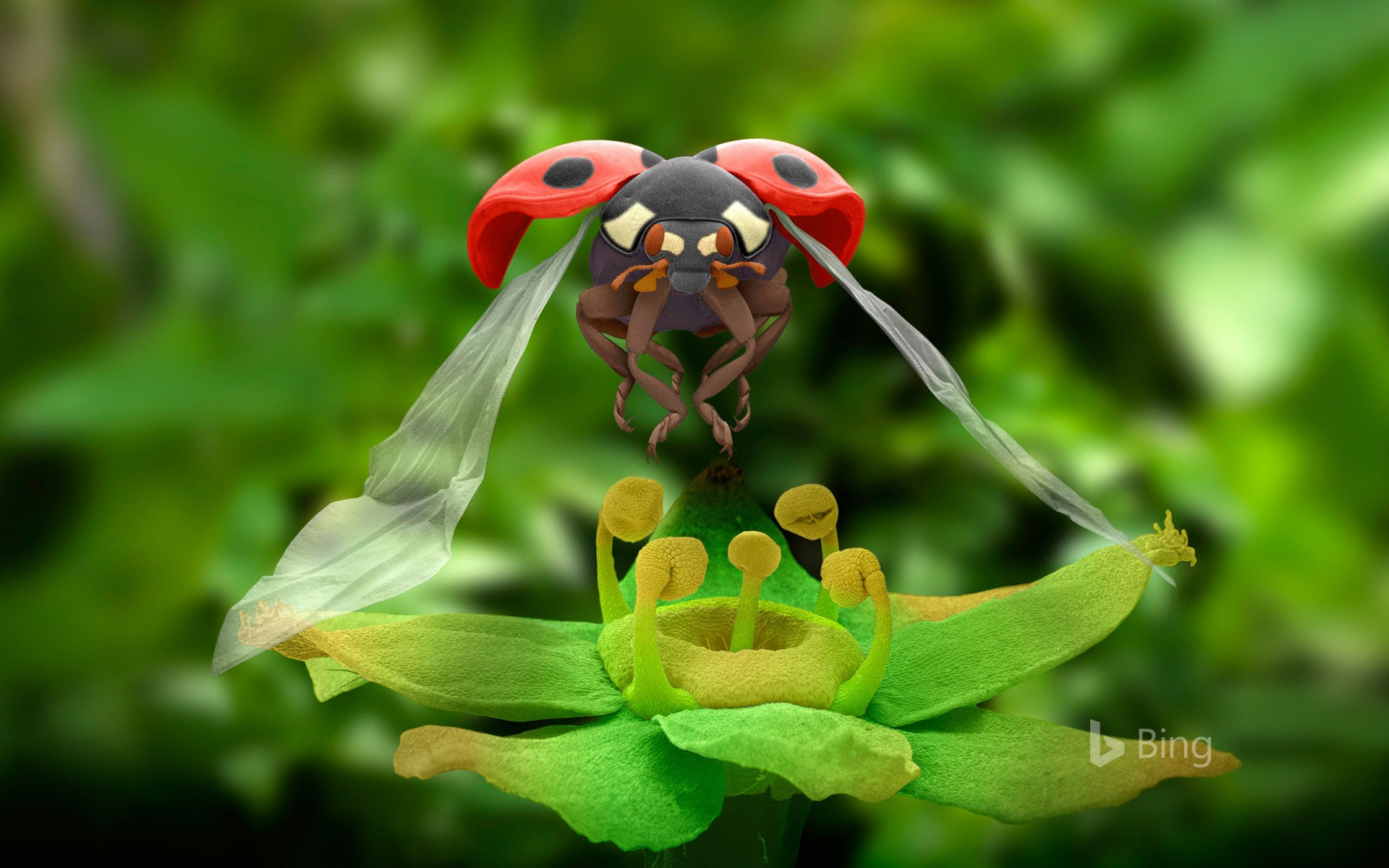 Coloured scanning electron micrograph of a seven-spot ladybird in flight