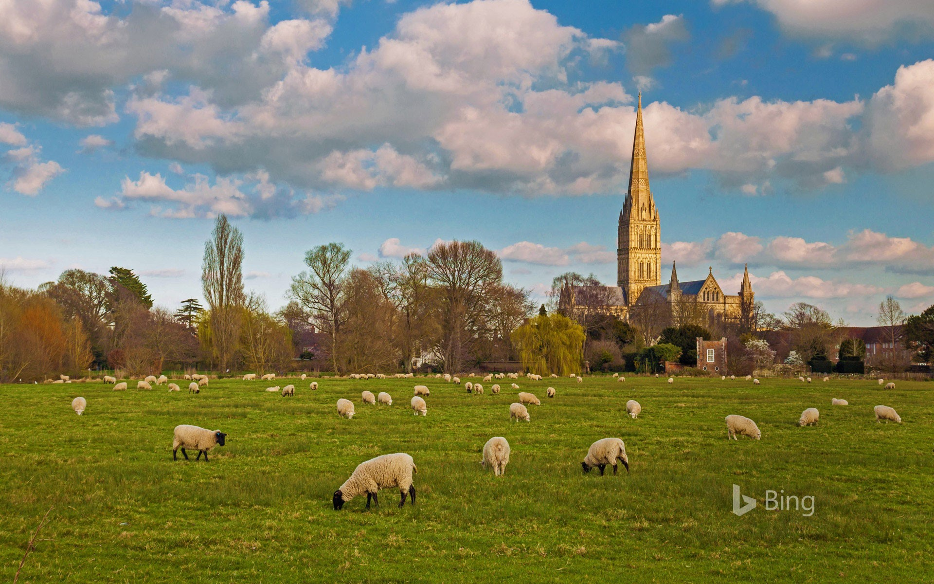 Salisbury Cathedral with grazing flock of sheep, Wiltshire