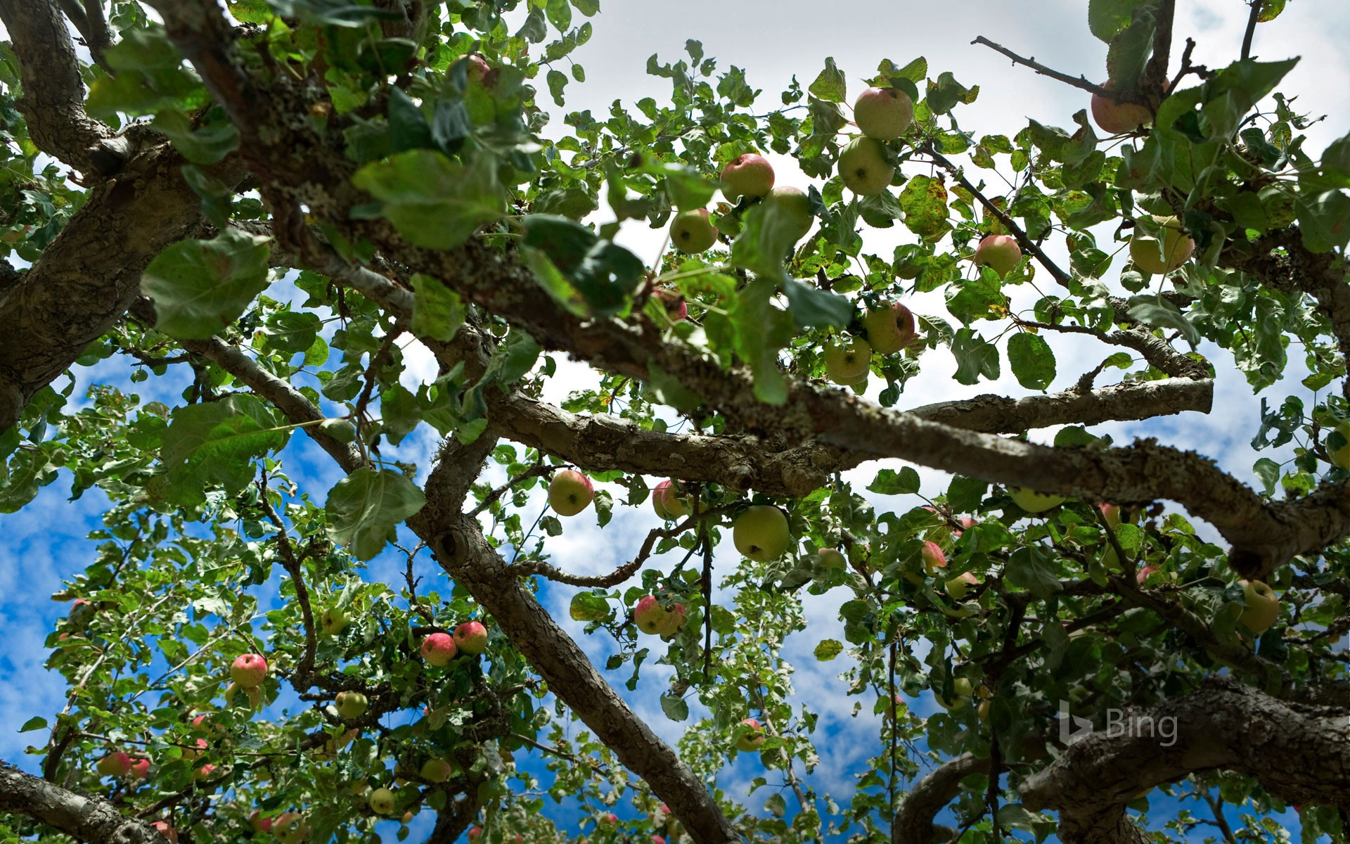 Apple tree on Salt Spring Island in British Columbia, Canada