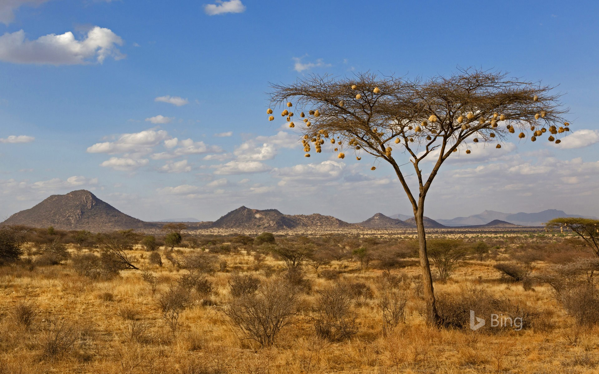 Weaverbird nests hanging from acacia tree in Samburu National Reserve, Kenya