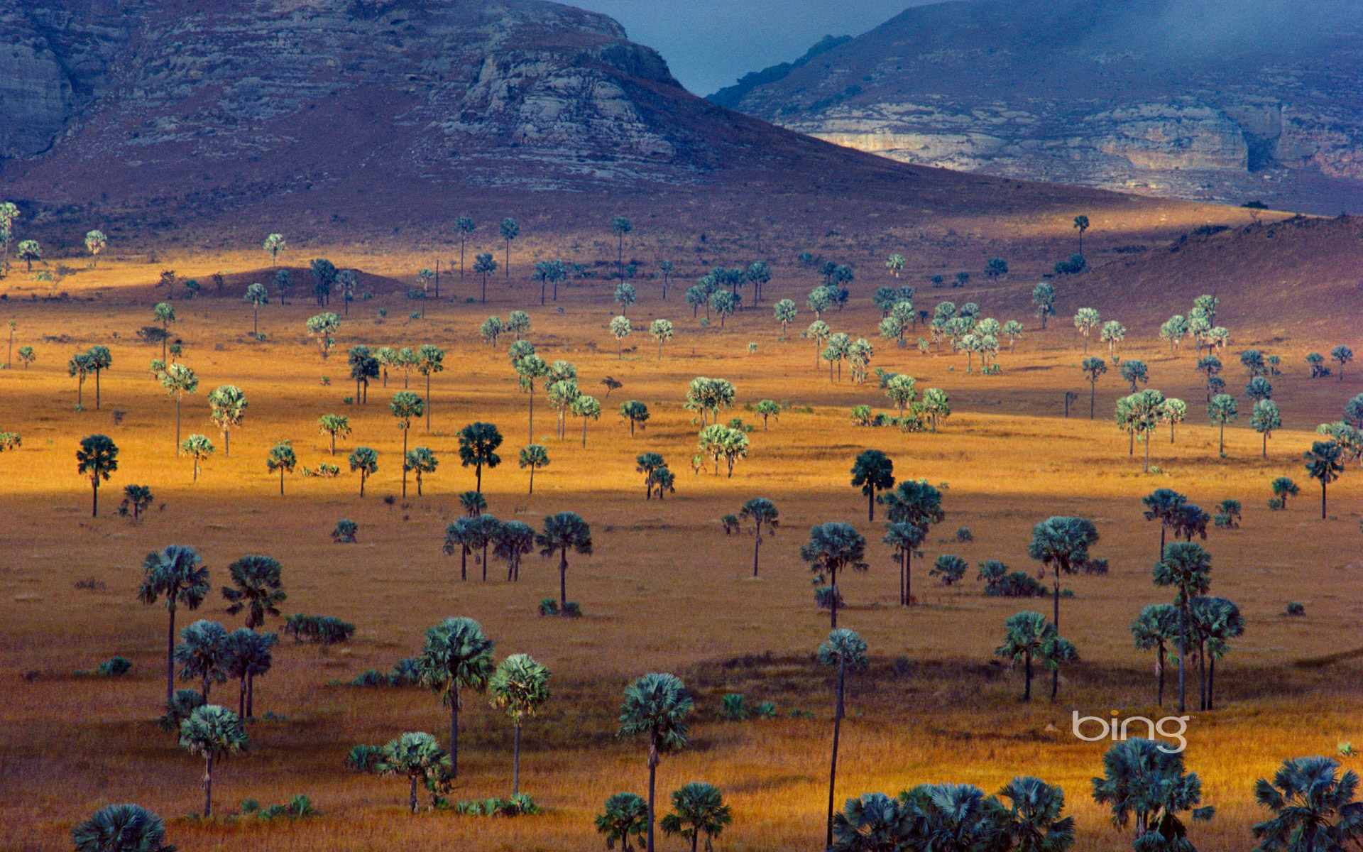 Palm trees growing on a savanna, Madagascar