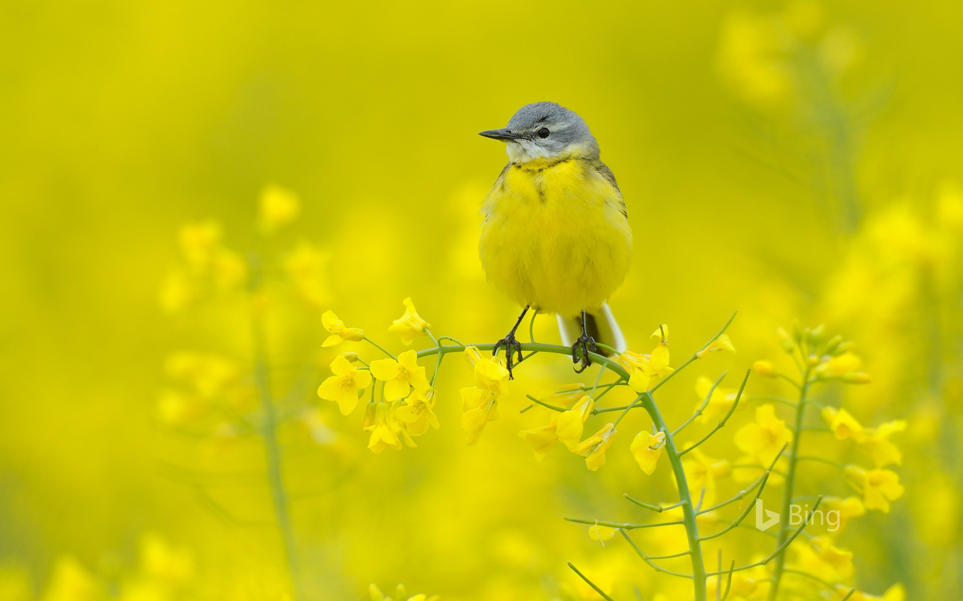 Blue-headed wagtail amid yellow flowers, Hesse, Germany