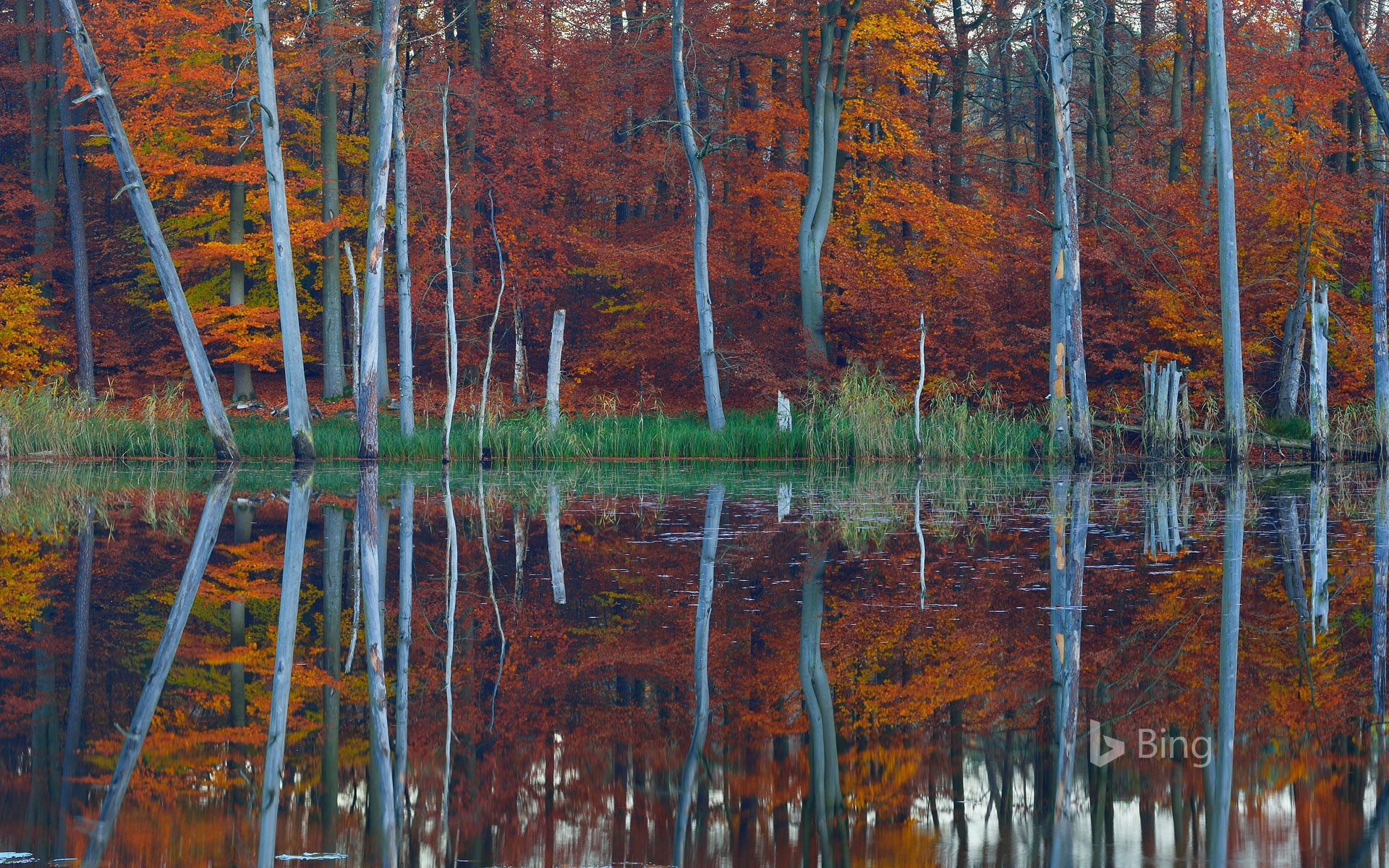 European beech and pine trees are reflected in the Schweingartensee near Carpin, Mecklenburg-Western Pomerania