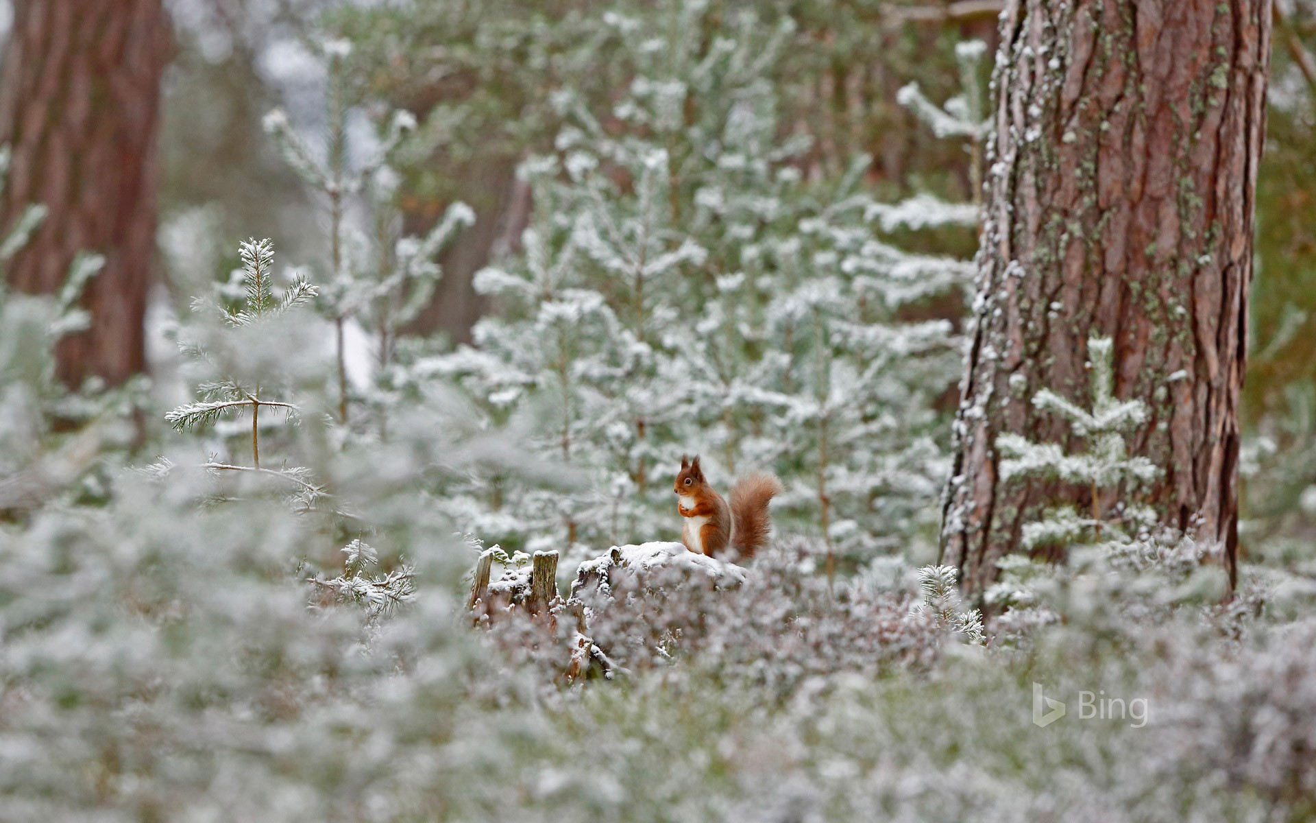 Red squirrel in Cairngorms National Park, Scotland