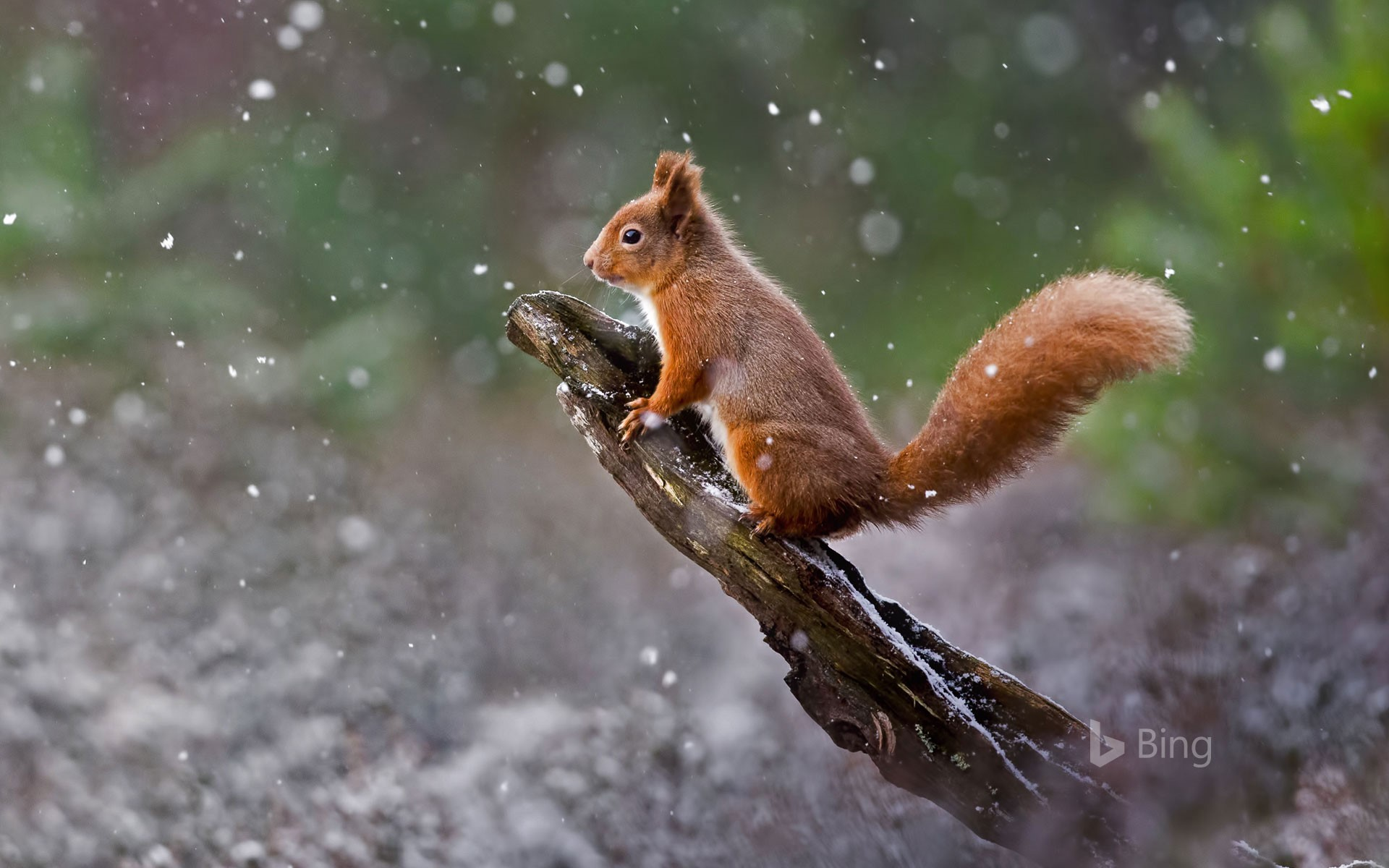 A red squirrel in Cairngorms National Park, Scotland