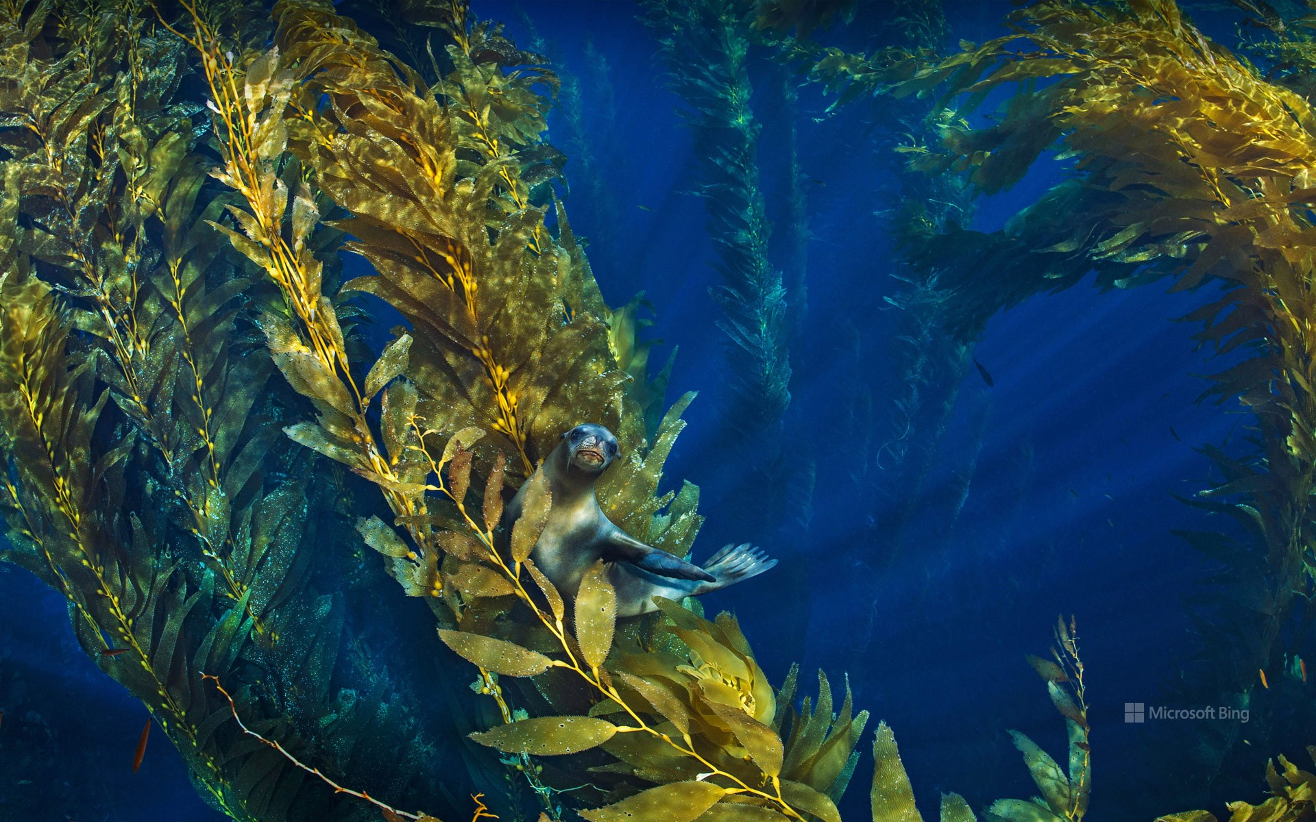 California sea lion in a forest of giant kelp near the Channel Islands of California, USA