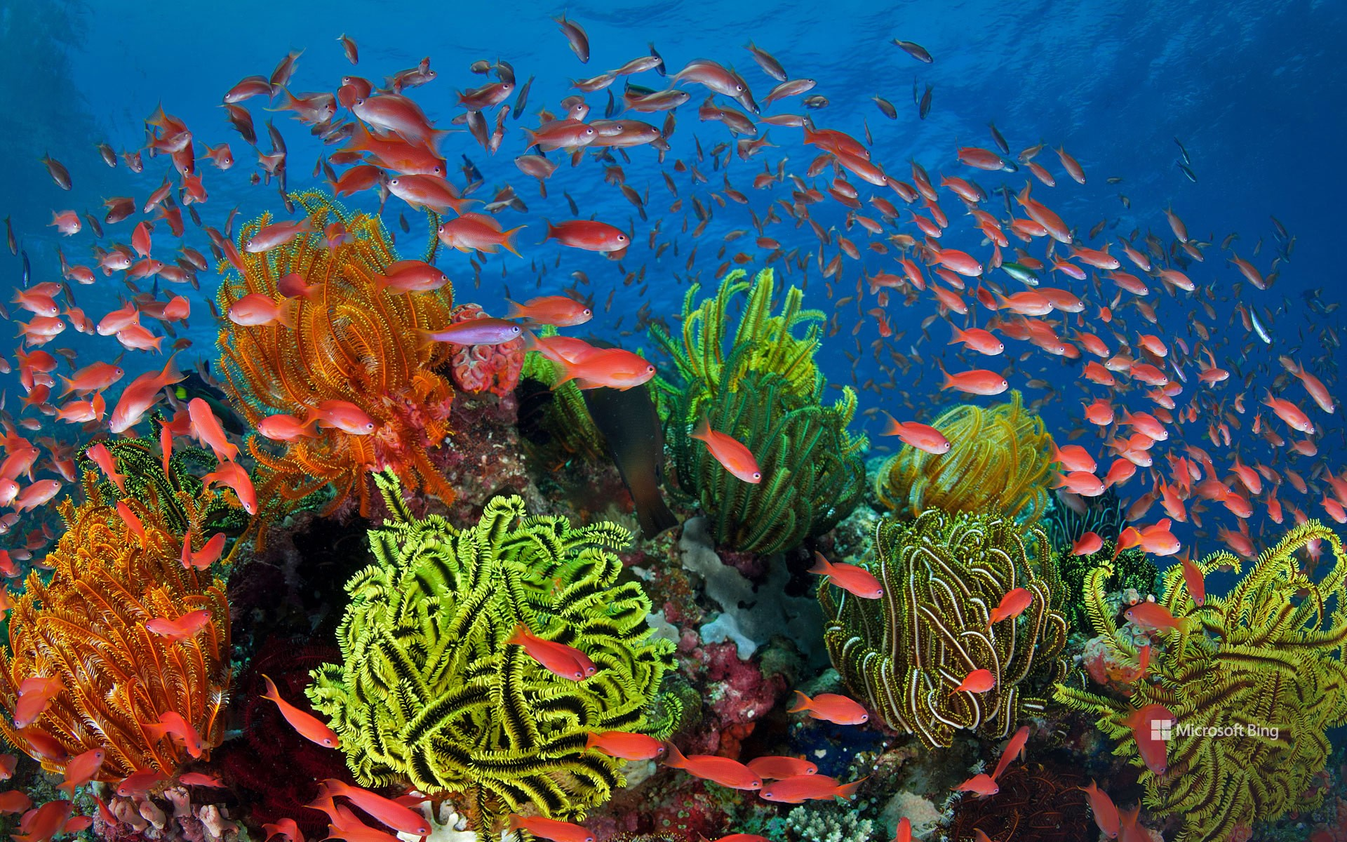 A shoal of Jeweled Anthias in a coral reef with hair stars, Great Barrier Reef, Queensland, Australia