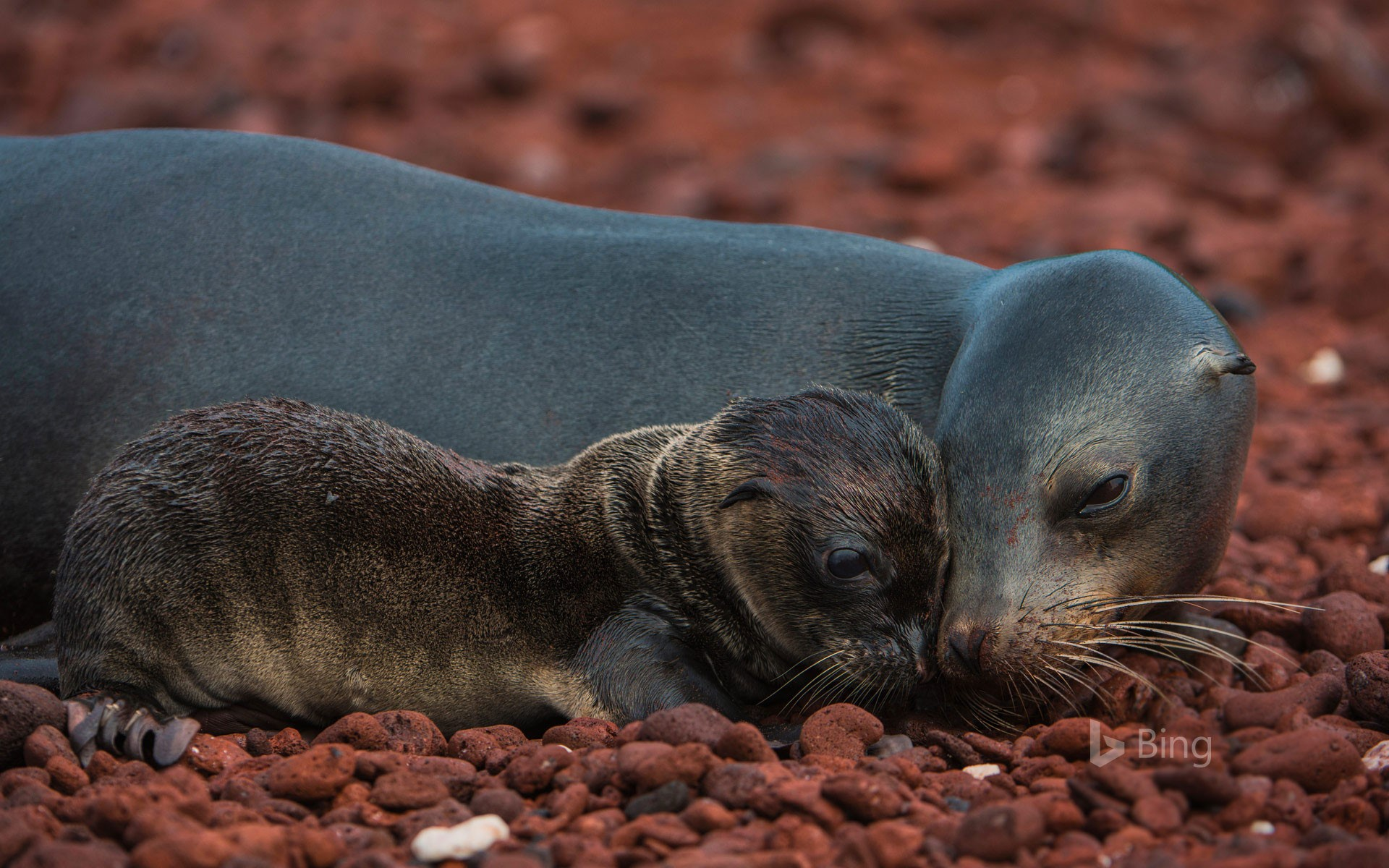 Galápagos sea lion and pup, Rábida Island, Galápagos Islands, Ecuador