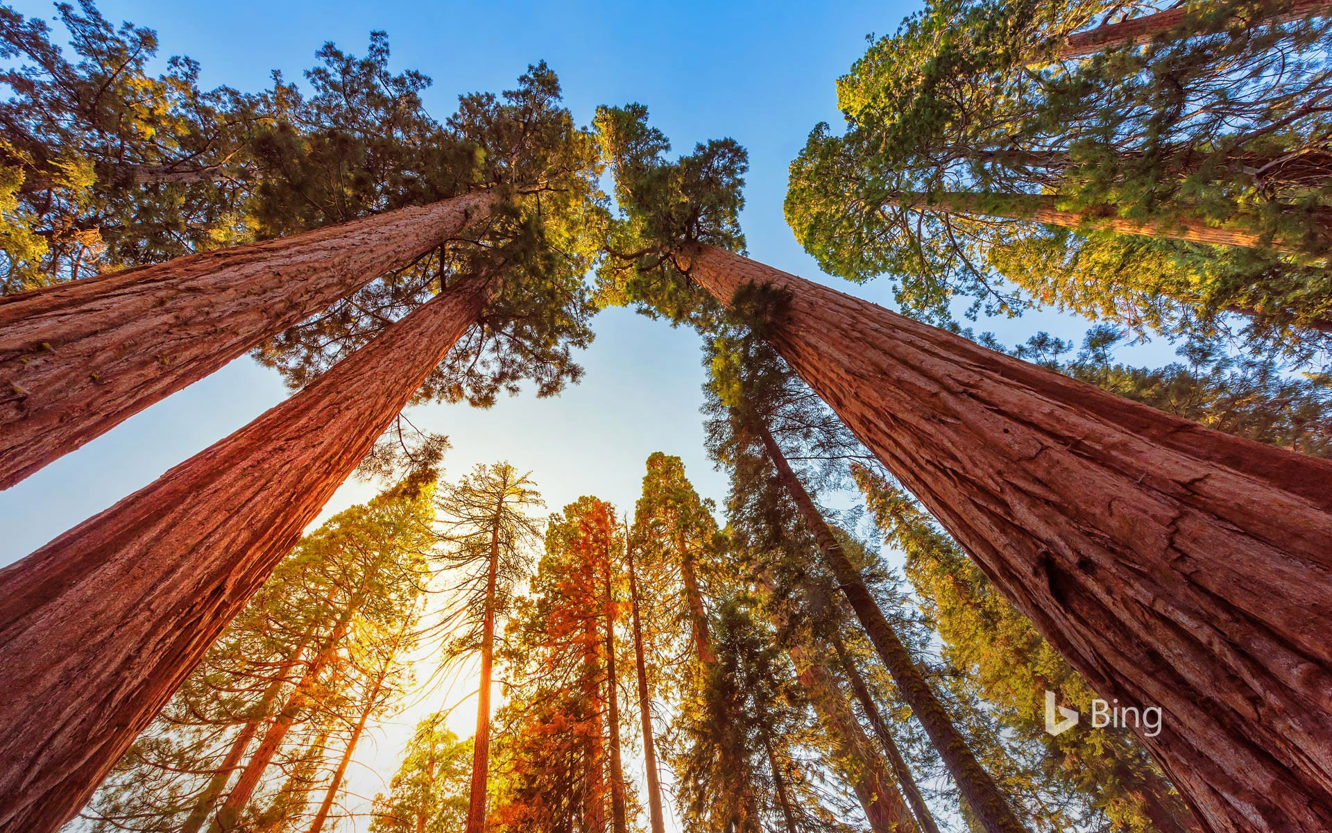Giant sequoia trees in Sequoia National Park and Kings Canyon National Park, California, USA